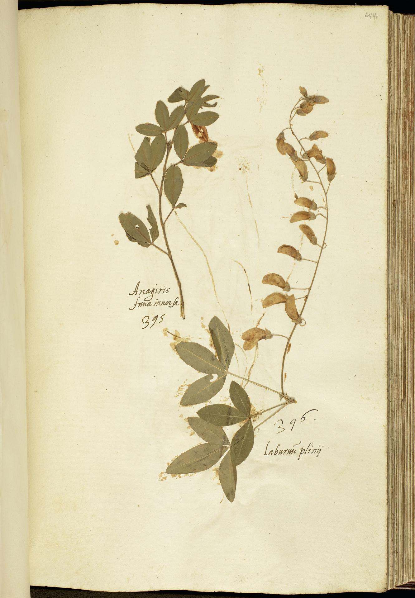 L.2111185 | Anagyris foetida L.