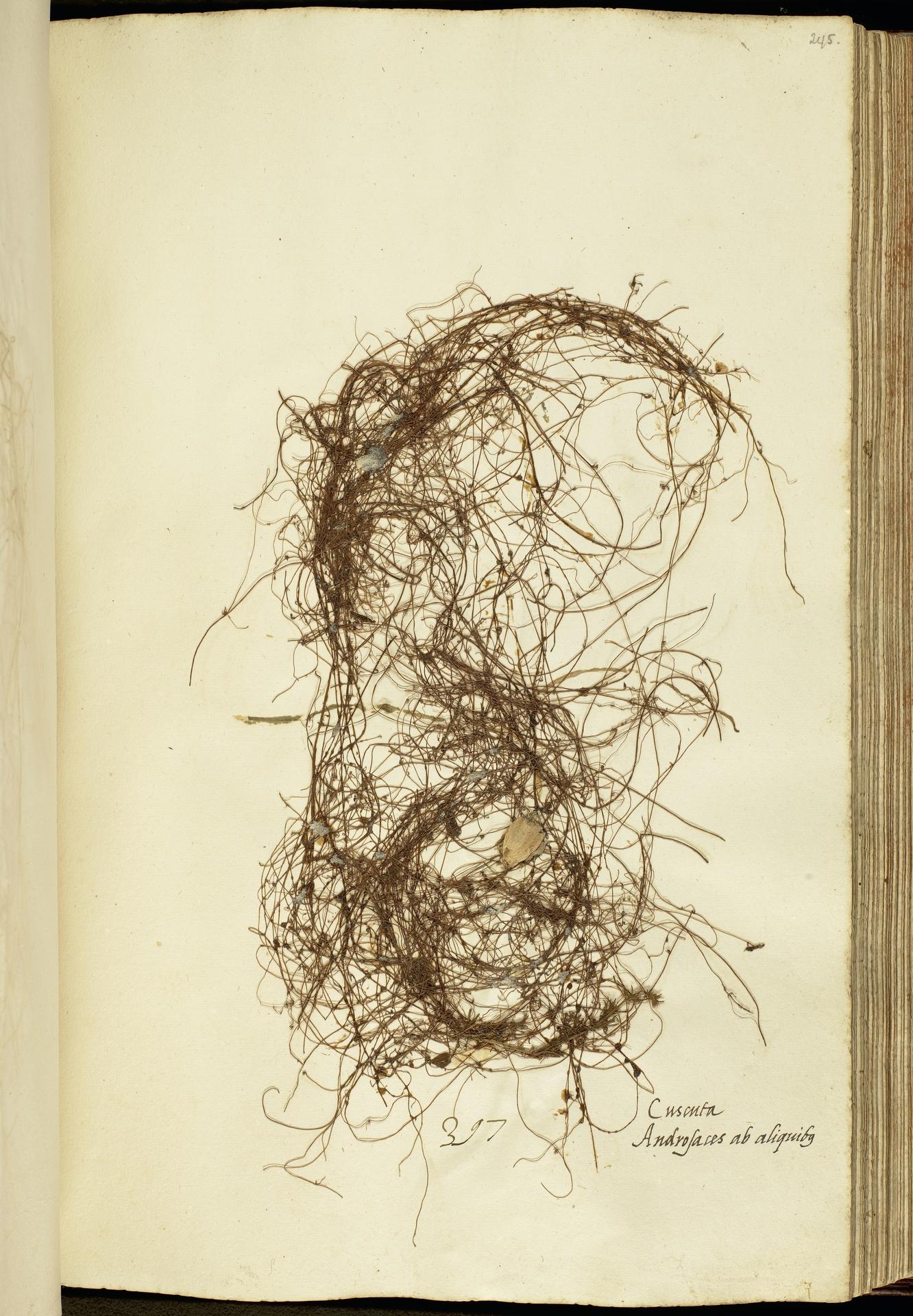 L.2111187 | Cuscuta epithymum (L.) L.
