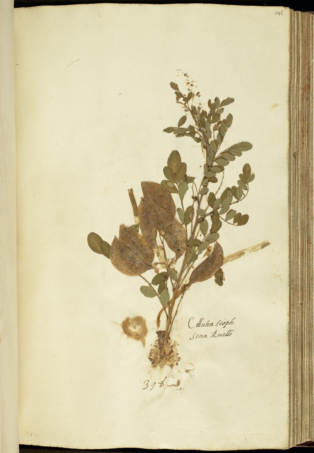 L.2111188 | Colutea arborescens L.
