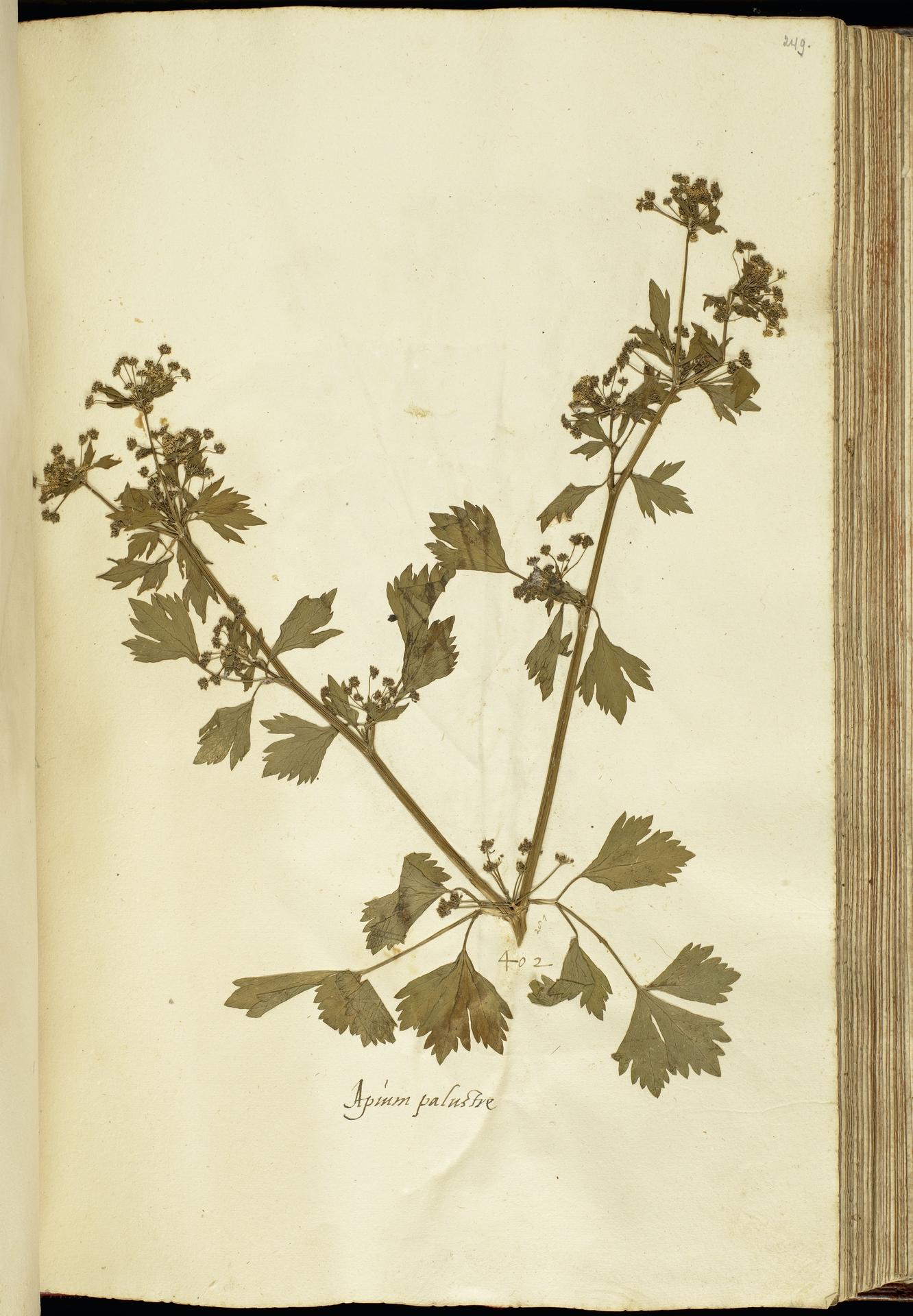 L.2111192 | Apium graveolens L.