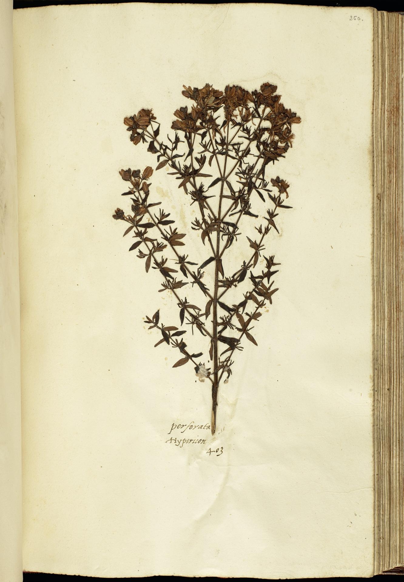 L.2111193   Hypericum perforatum L.