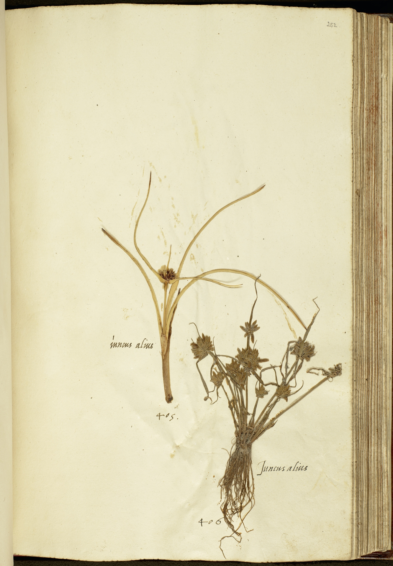 L.2111195 | Cyperus capitatus Vand.