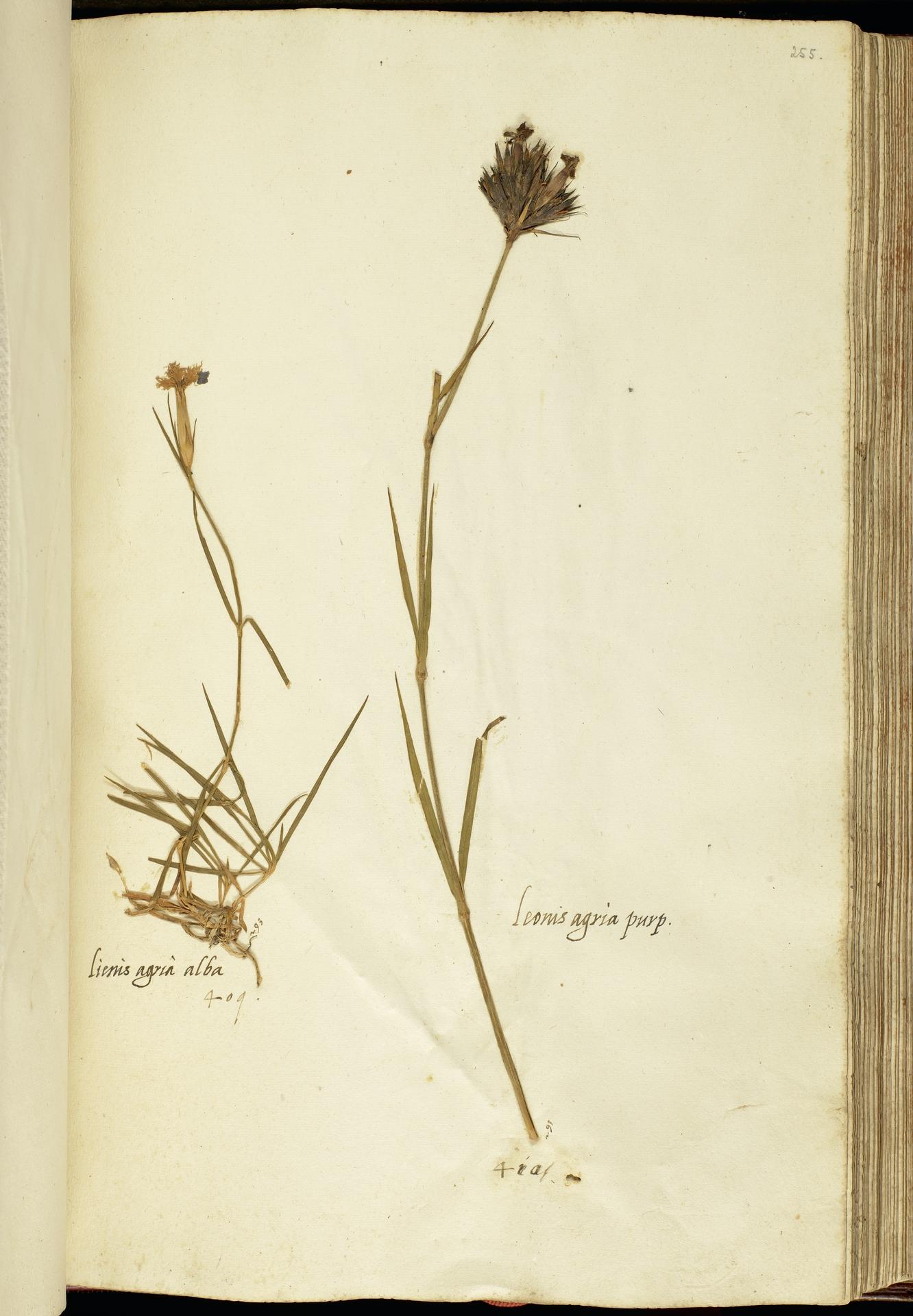 L.2111199 | Dianthus hyssopifolius L.