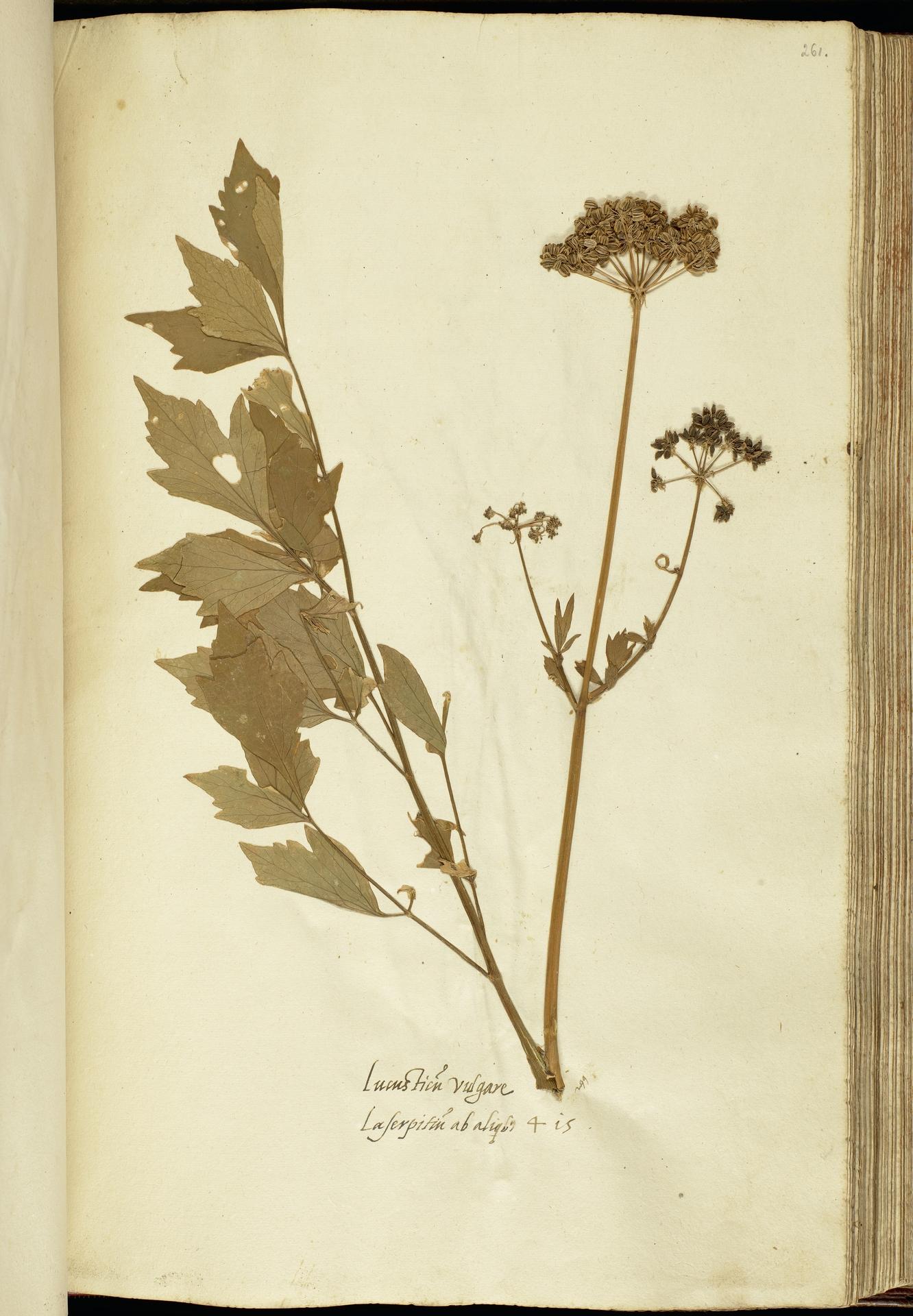 L.2111206 | Levisticum officinale W.D.J.Koch