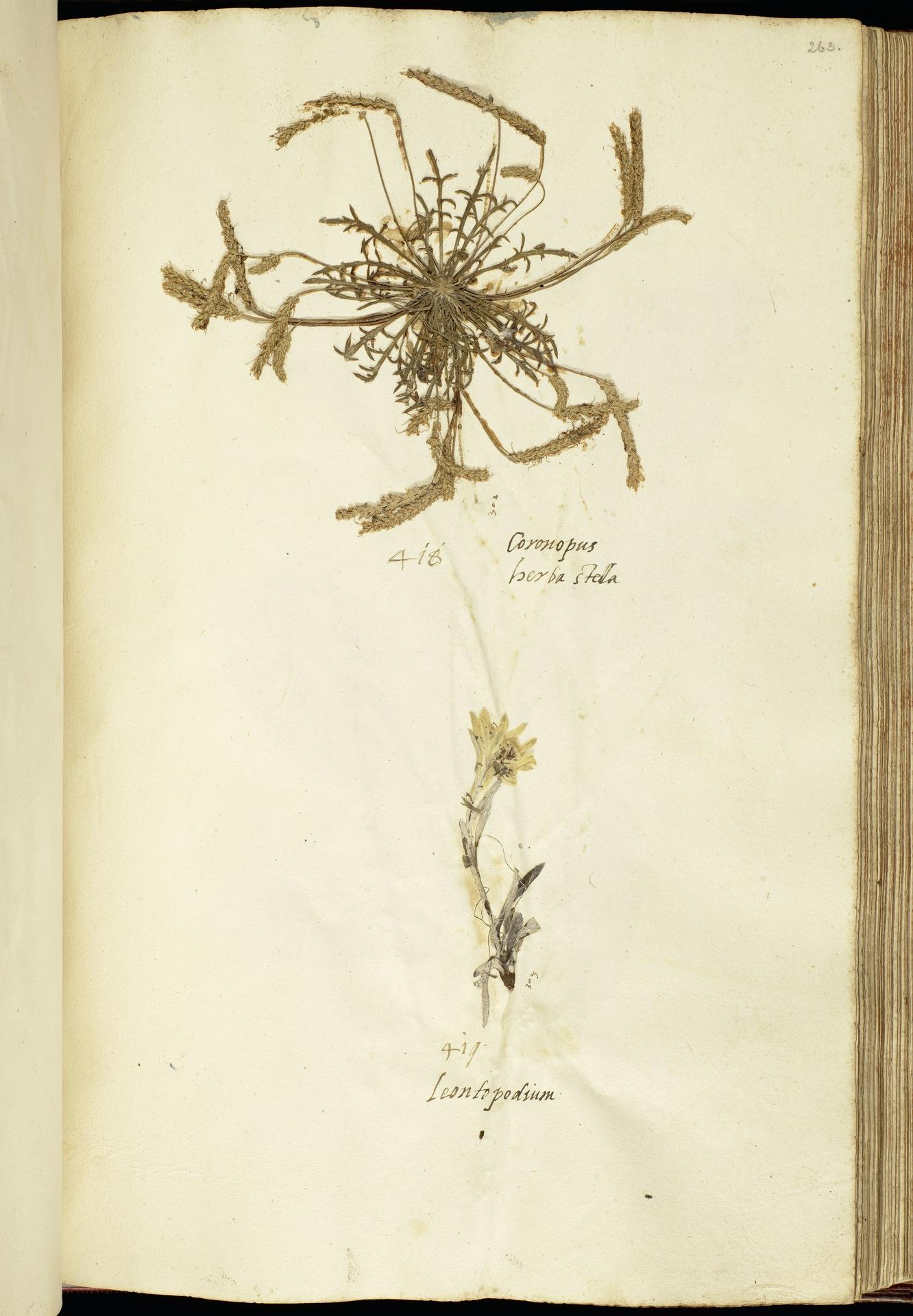 L.2111209 | Leontopodium nivale subsp. alpinum (Cass.) Greuter