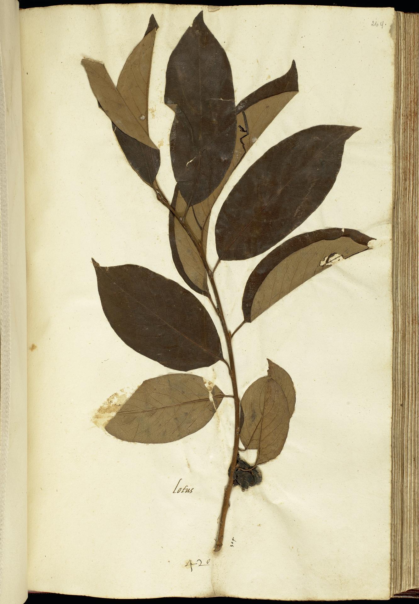 L.2111210 | Diospyros lotus L.