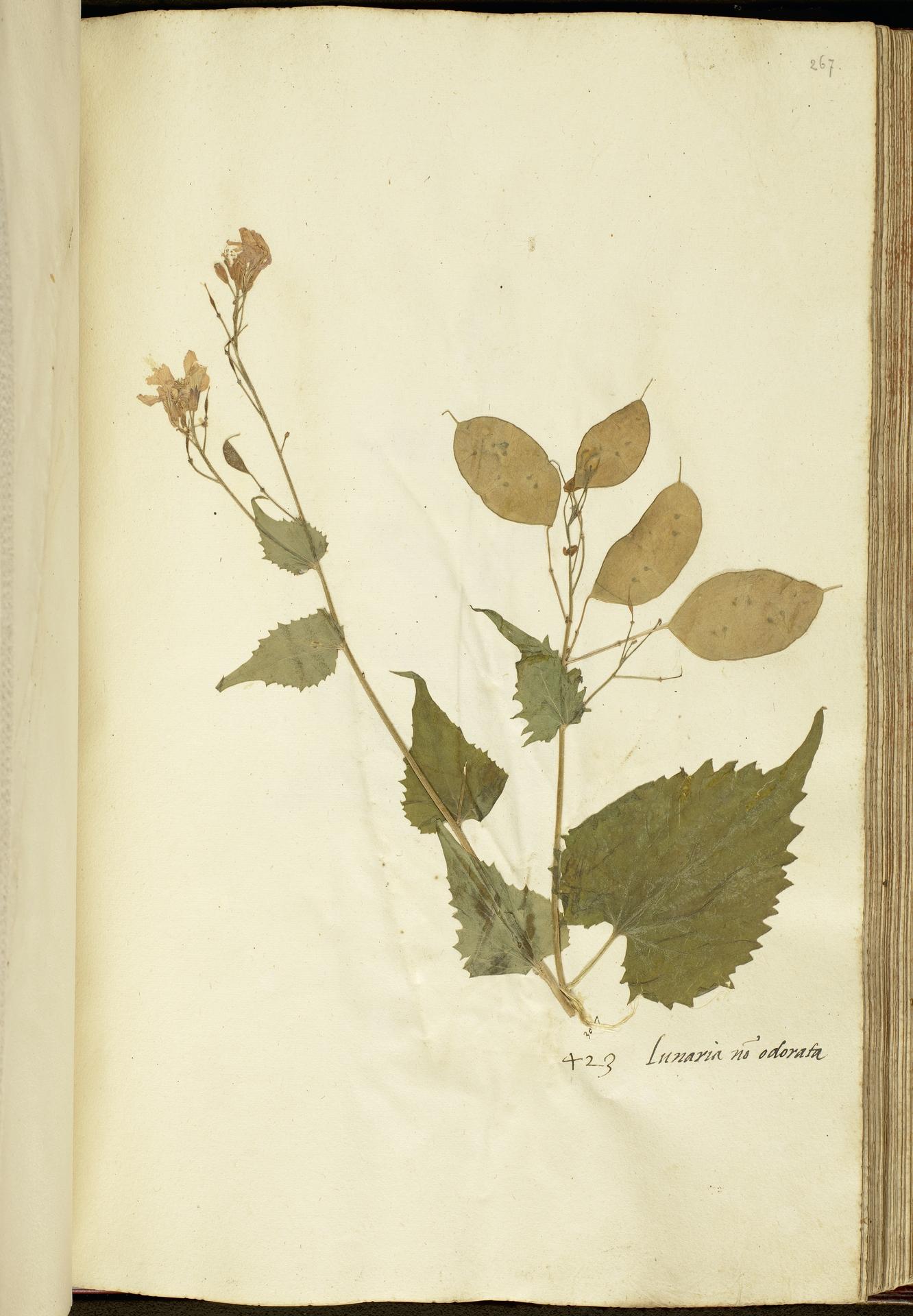 L.2111213   Lunaria annua L.