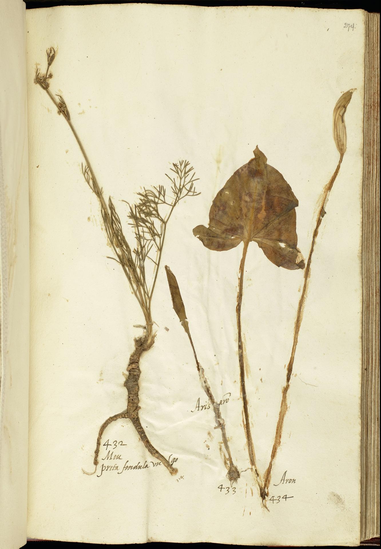L.2111223 | Biarum tenuifolium (L.) Schott