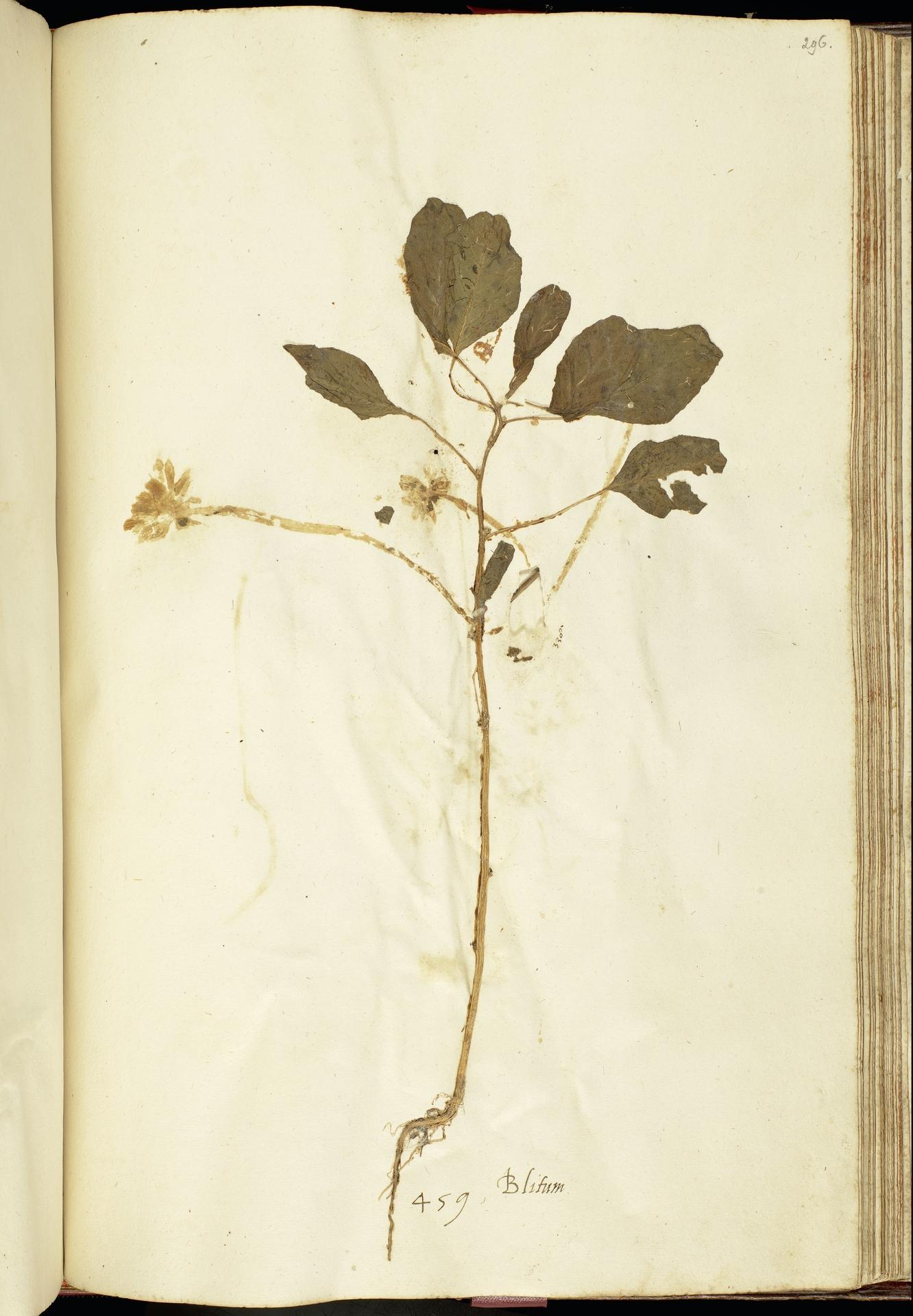 L.2111247 | Amaranthus blitum L.