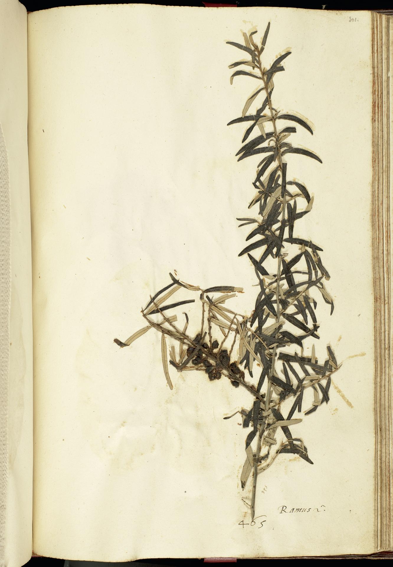 L.2111253 | Elaeagnus rhamnoides (L.) A.Nelson