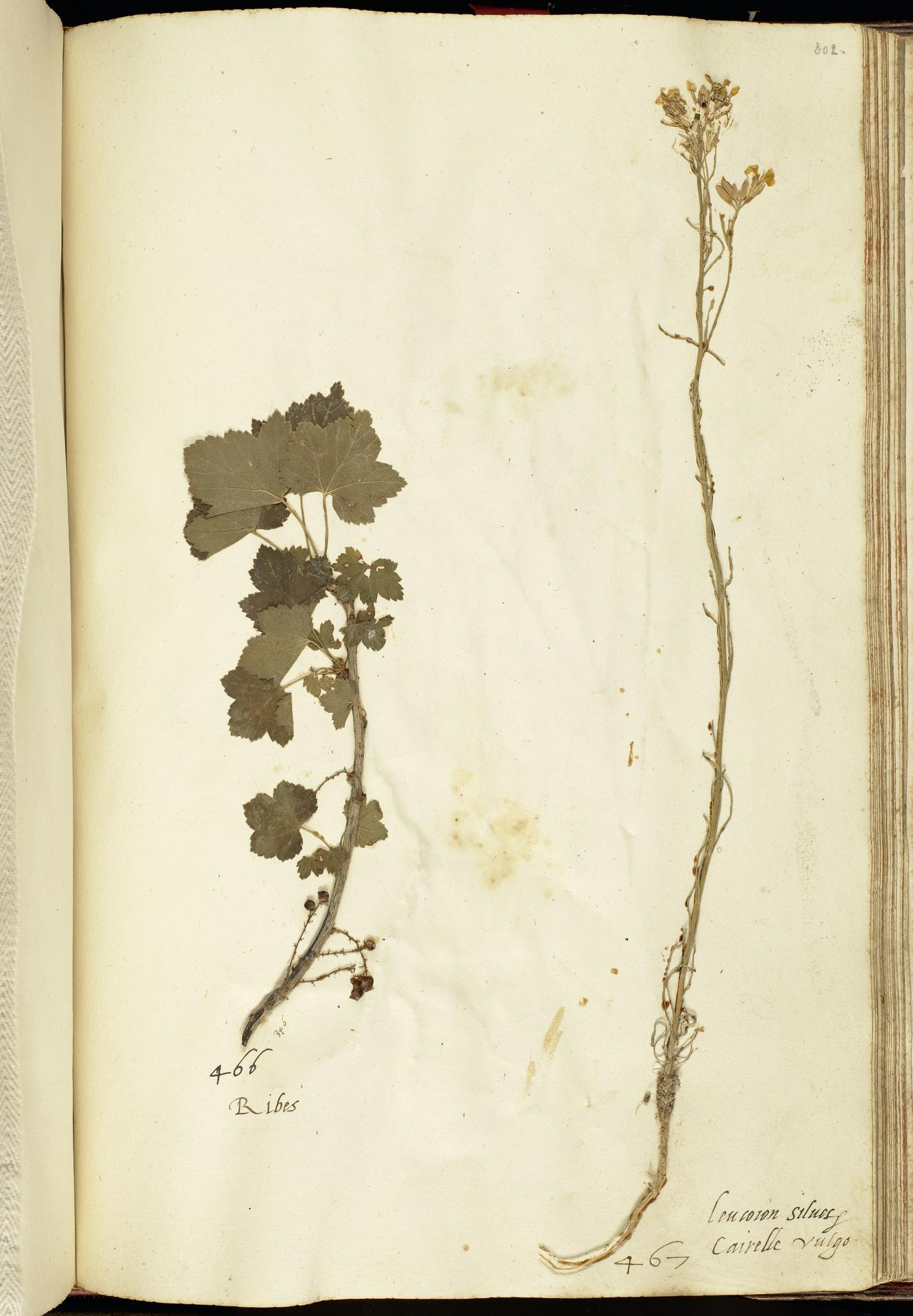L.2111255 | Erysimum sylvestre (Crantz) Scop.