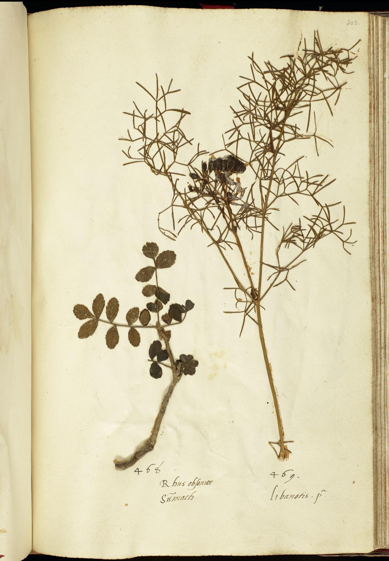 L.2111257 | Prangos ferulacea (L.) Lindl.
