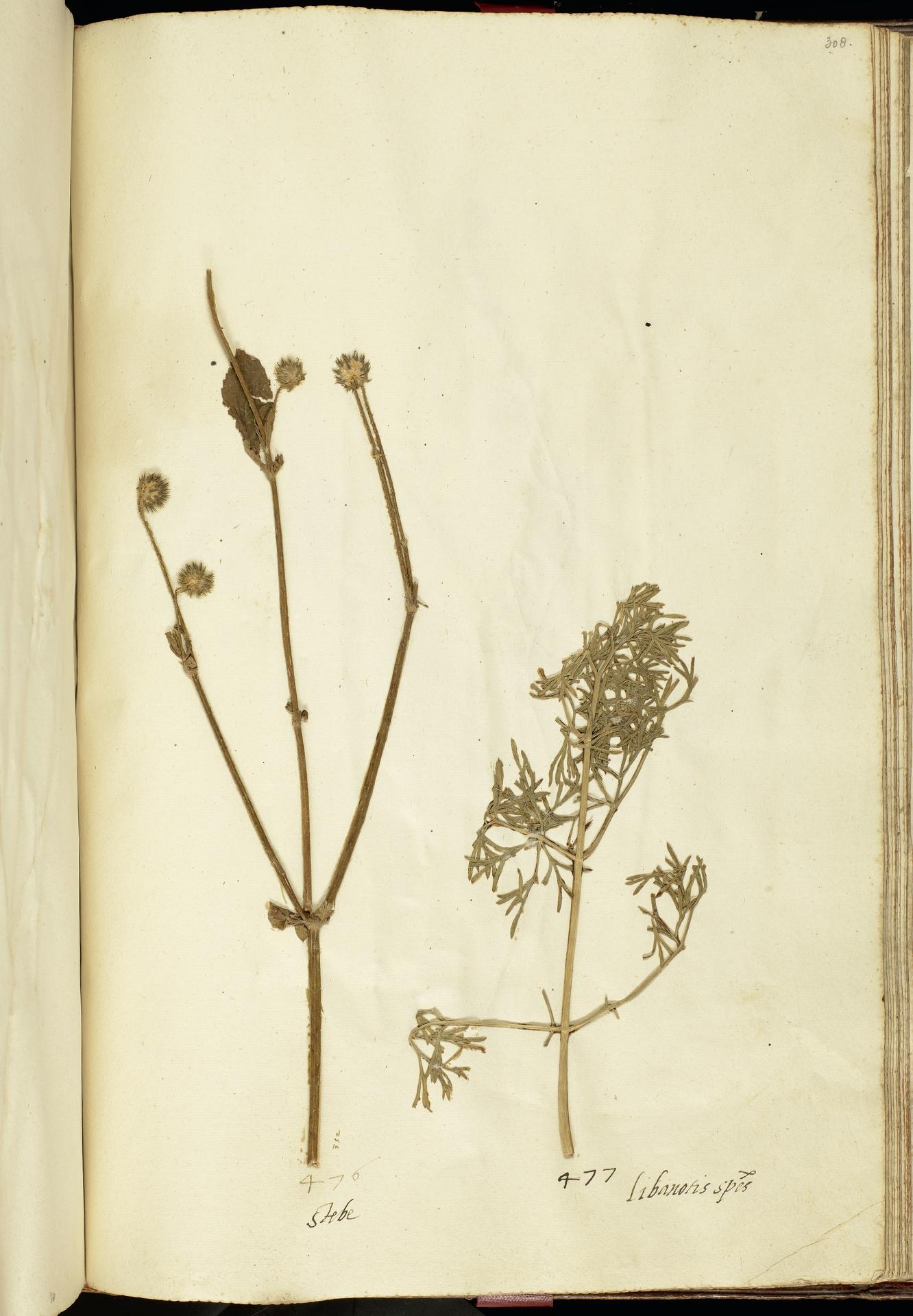 L.2111264 | Dipsacus pilosus L.
