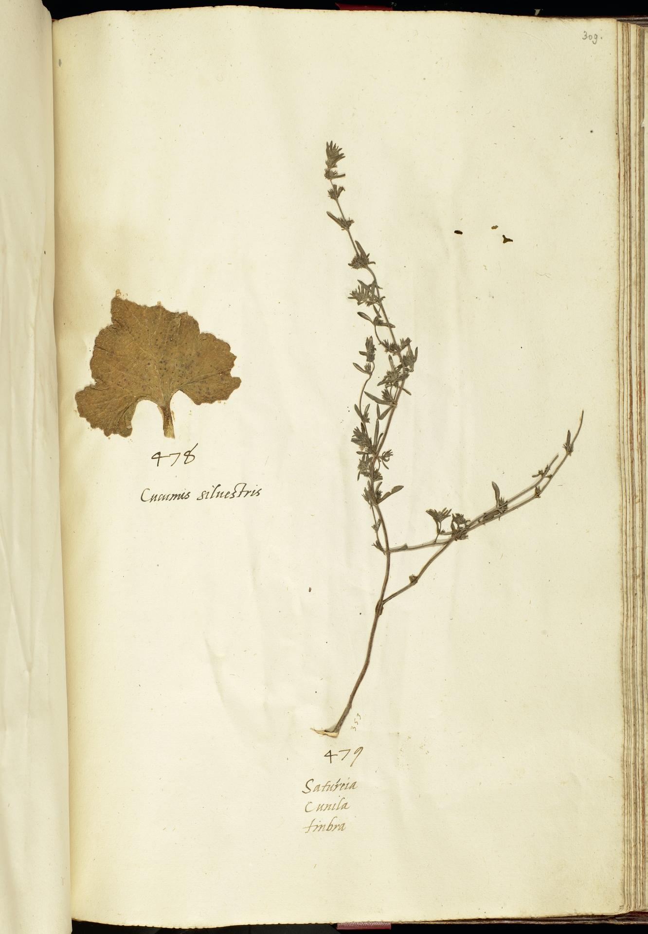 L.2111266 | Ecballium elaterium (L.) A.Rich.