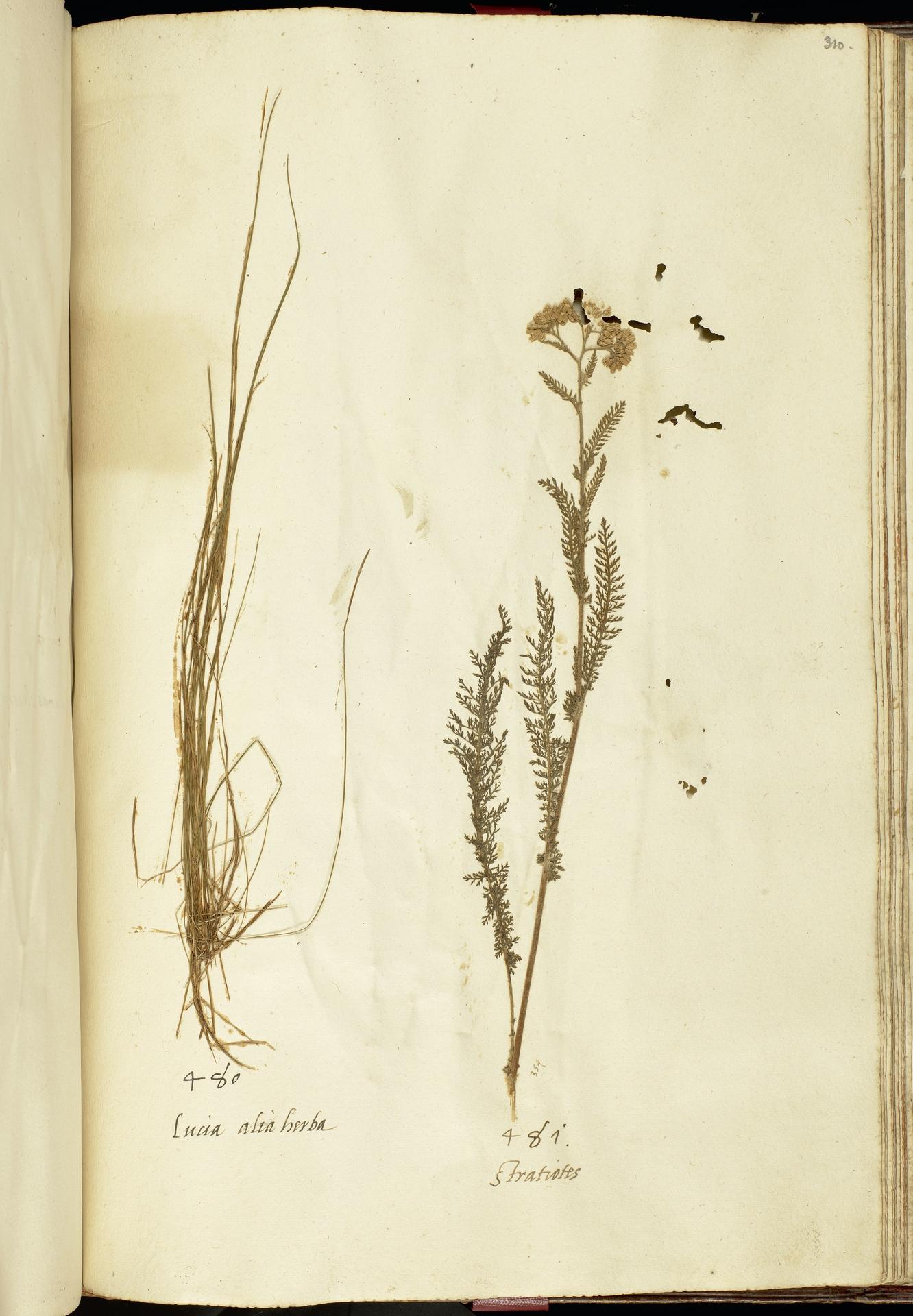 L.2111269 | Achillea millefolium L.