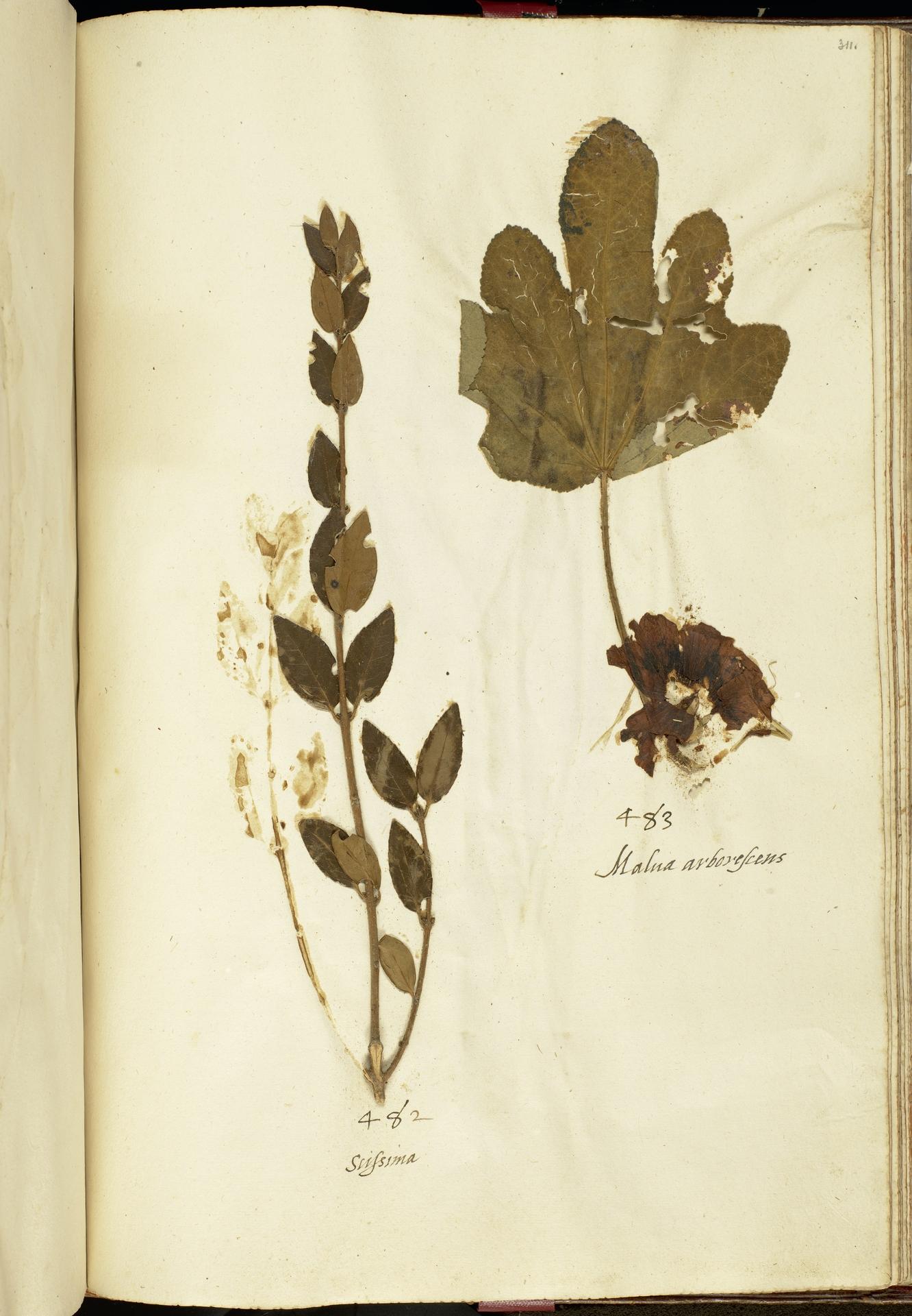 L.2111271 | Alcea rosea subsp. ficifolia (L.) Govaerts