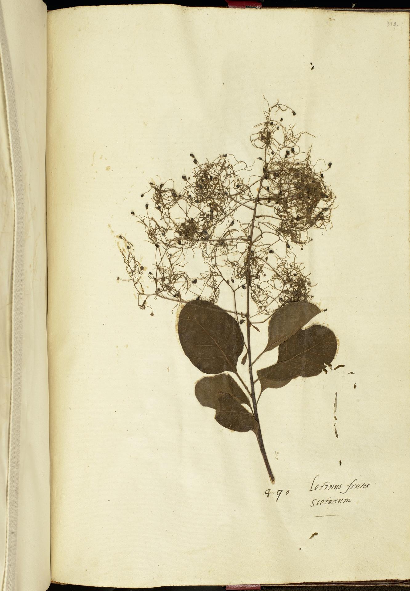 L.2111276 | Cotinus coggygria Scop.