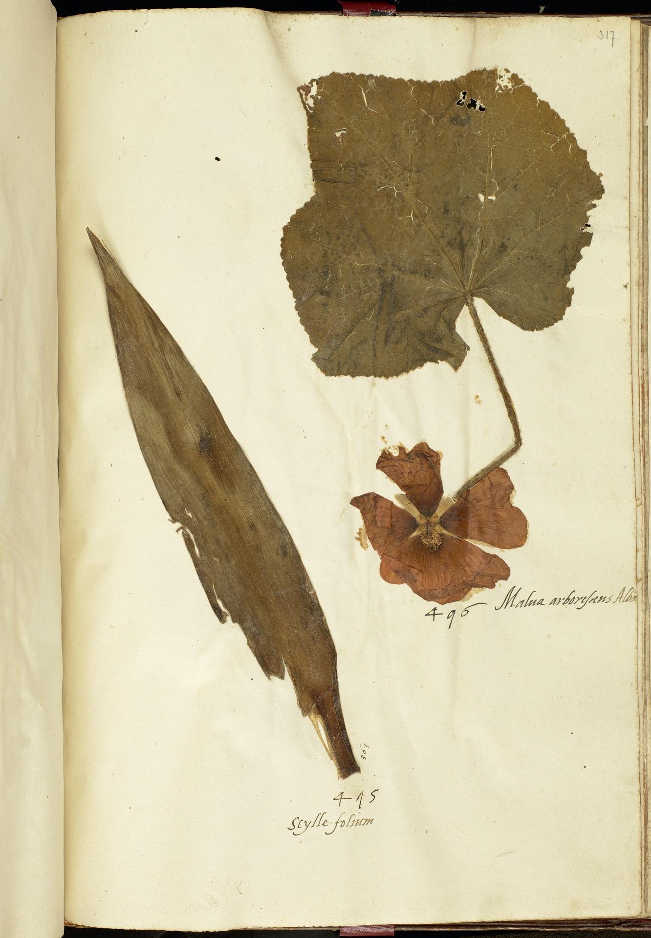 L.2111282 | Alcea rosea L.
