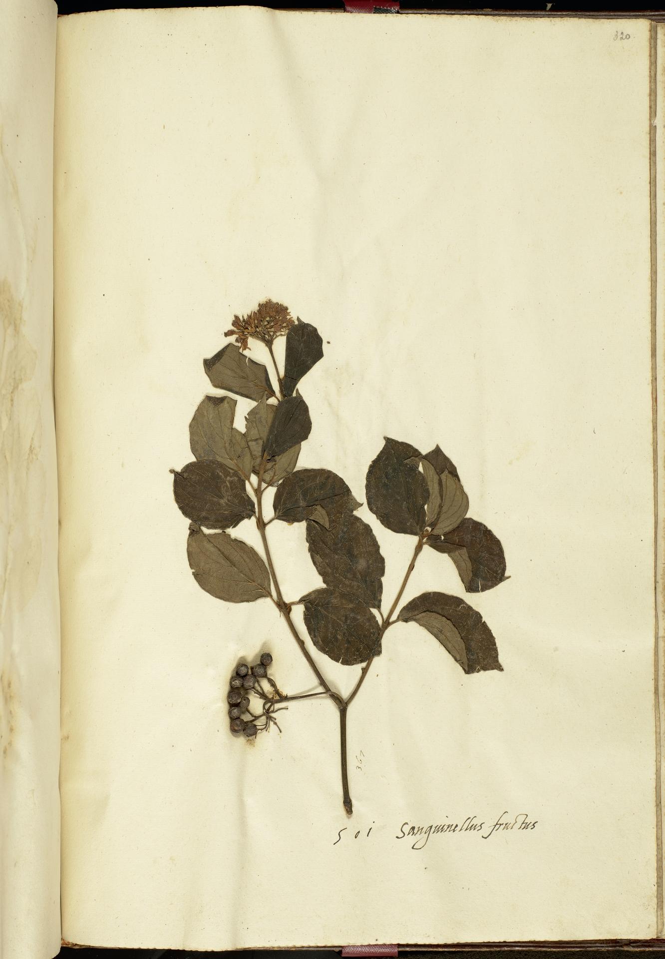 L.2111286 | Cornus sanguinea L.