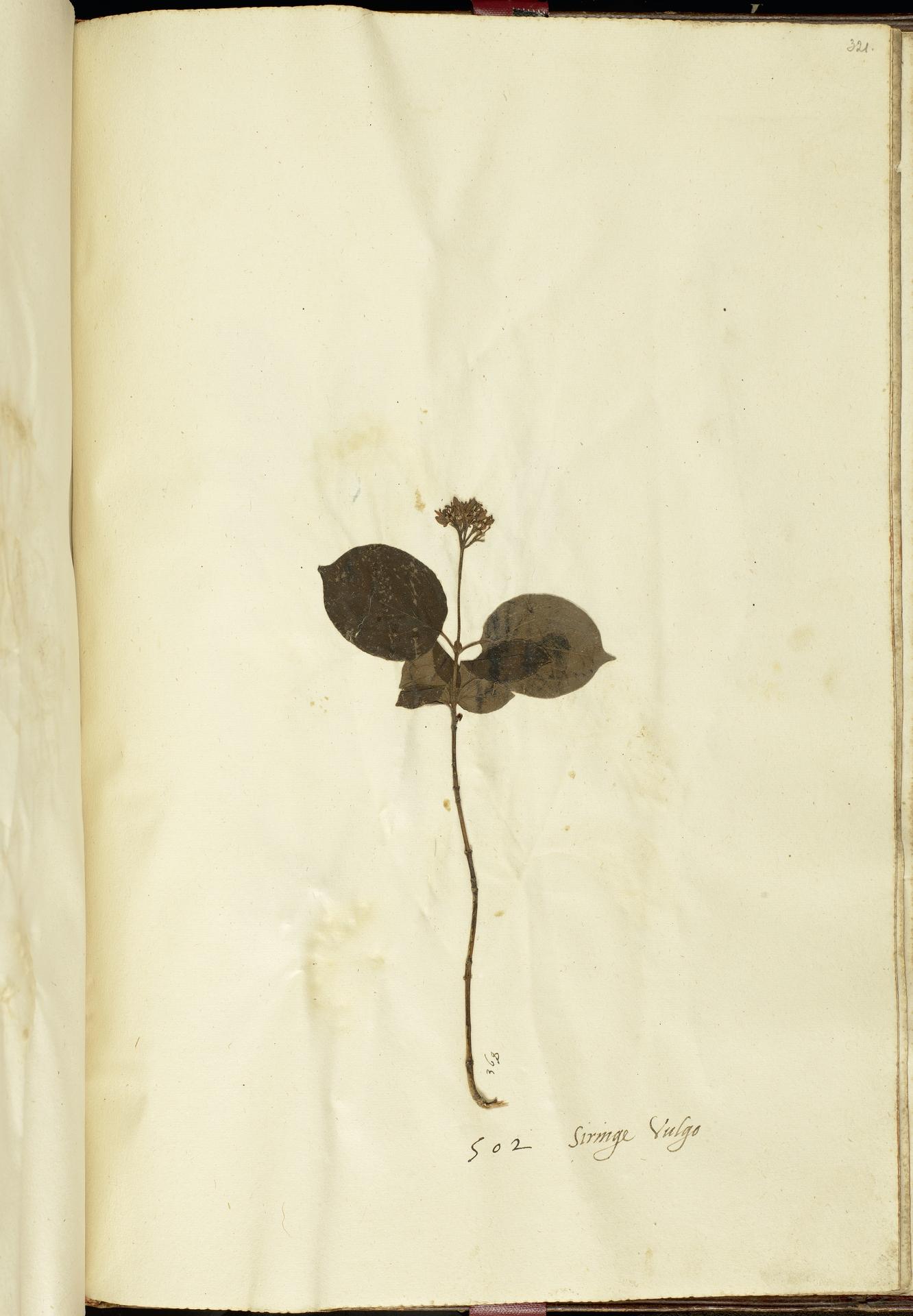 L.2111287 | Cornus sanguinea L.