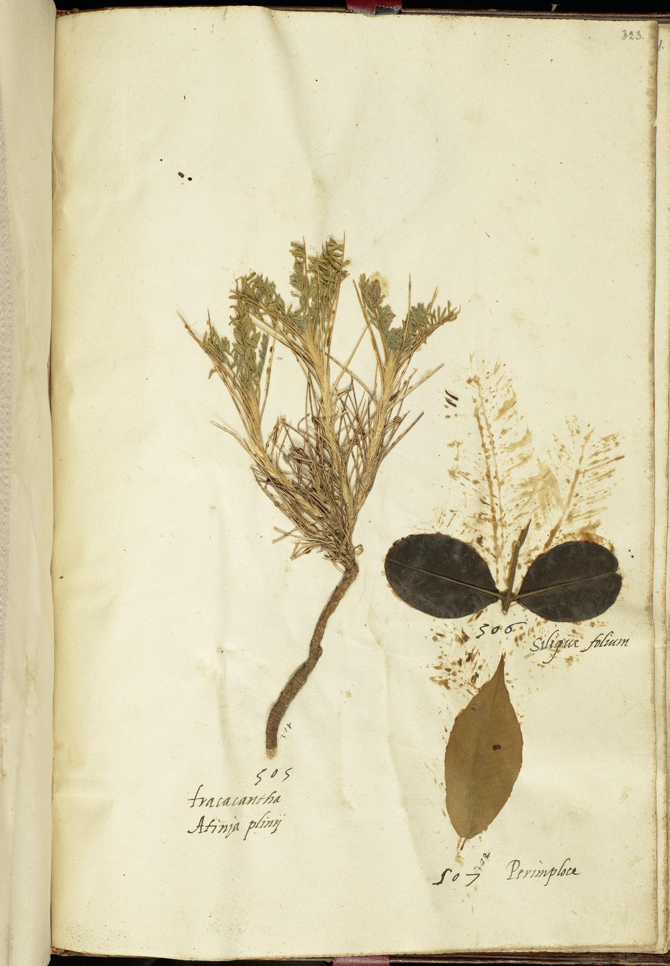 L.2111290 | Astragalus sempervirens Lam.