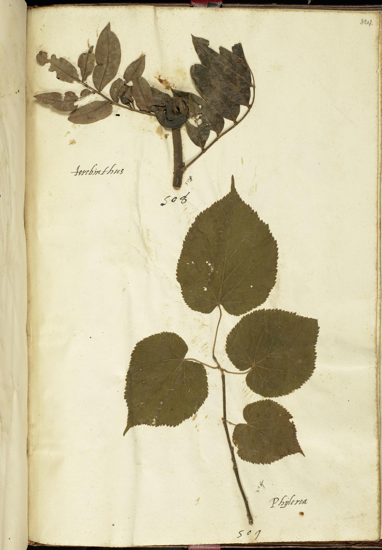 L.2111293 | Pistacia terebinthus L.