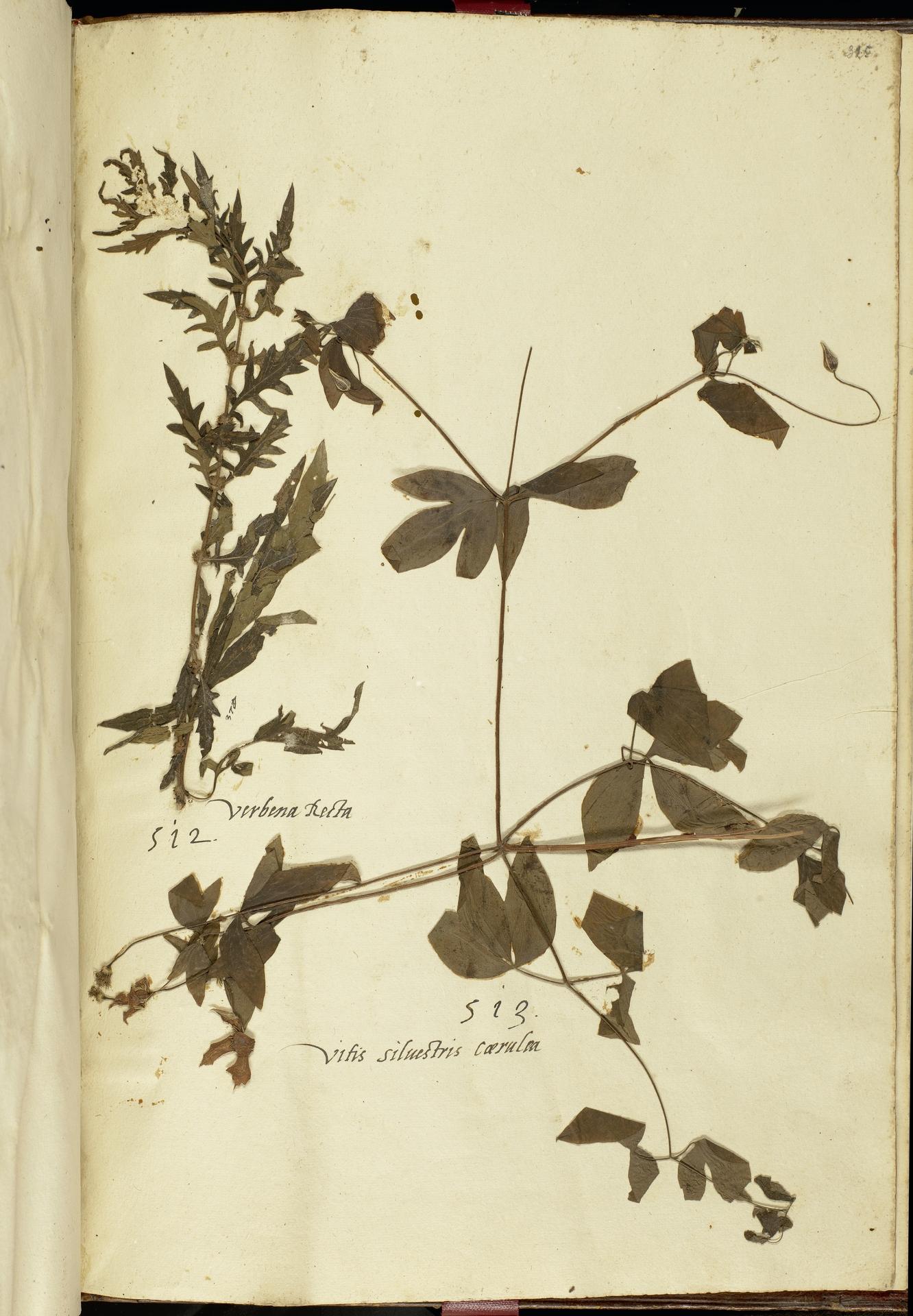 L.2111296 | Clematis viticella L.