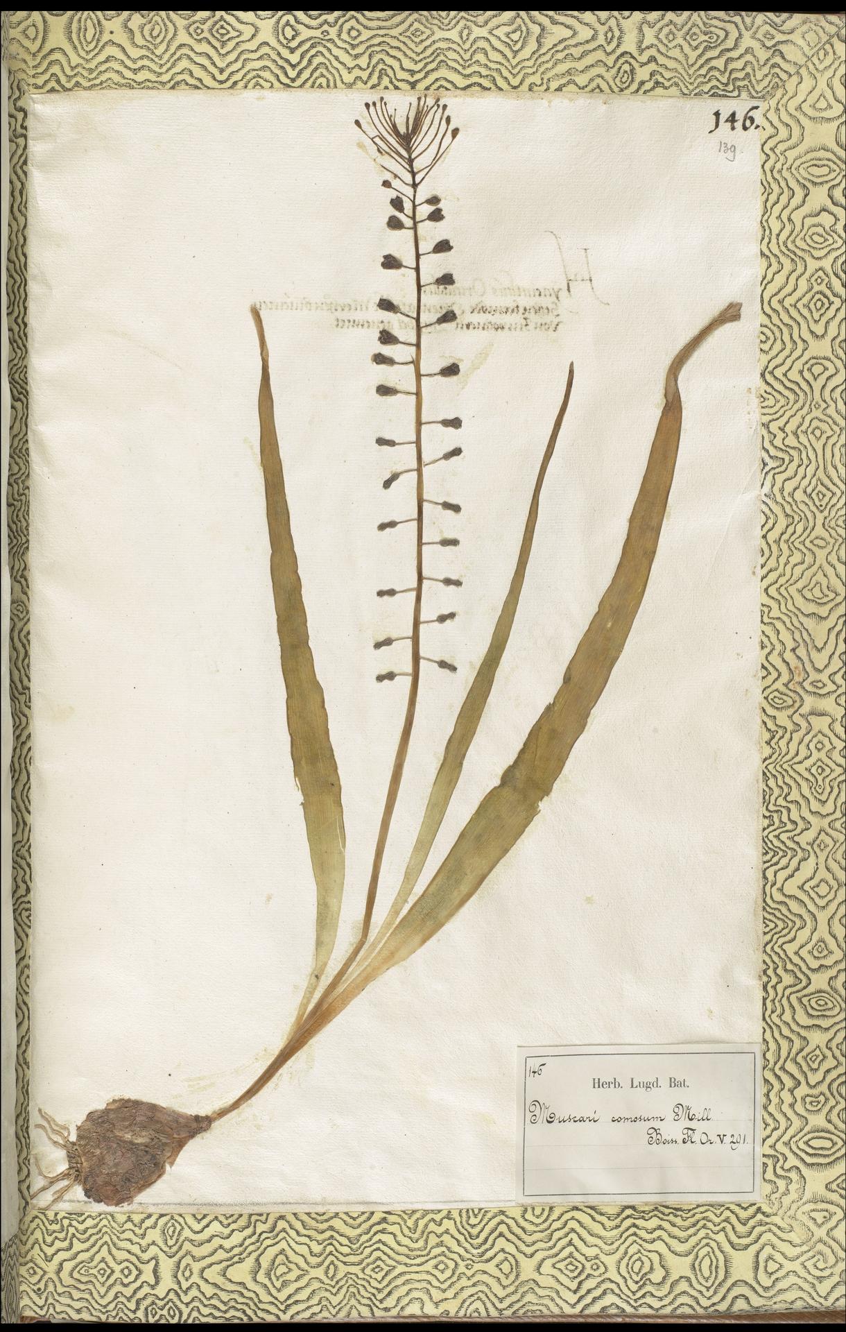 L.2111437 | Leopoldia comosa (L.) Parl.