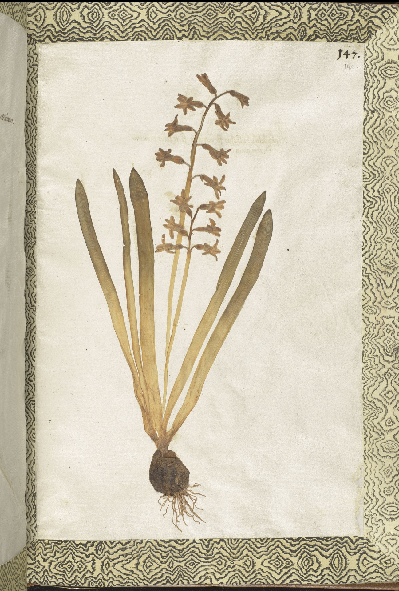 L.2111438 | Hyacinthus orientalis L.