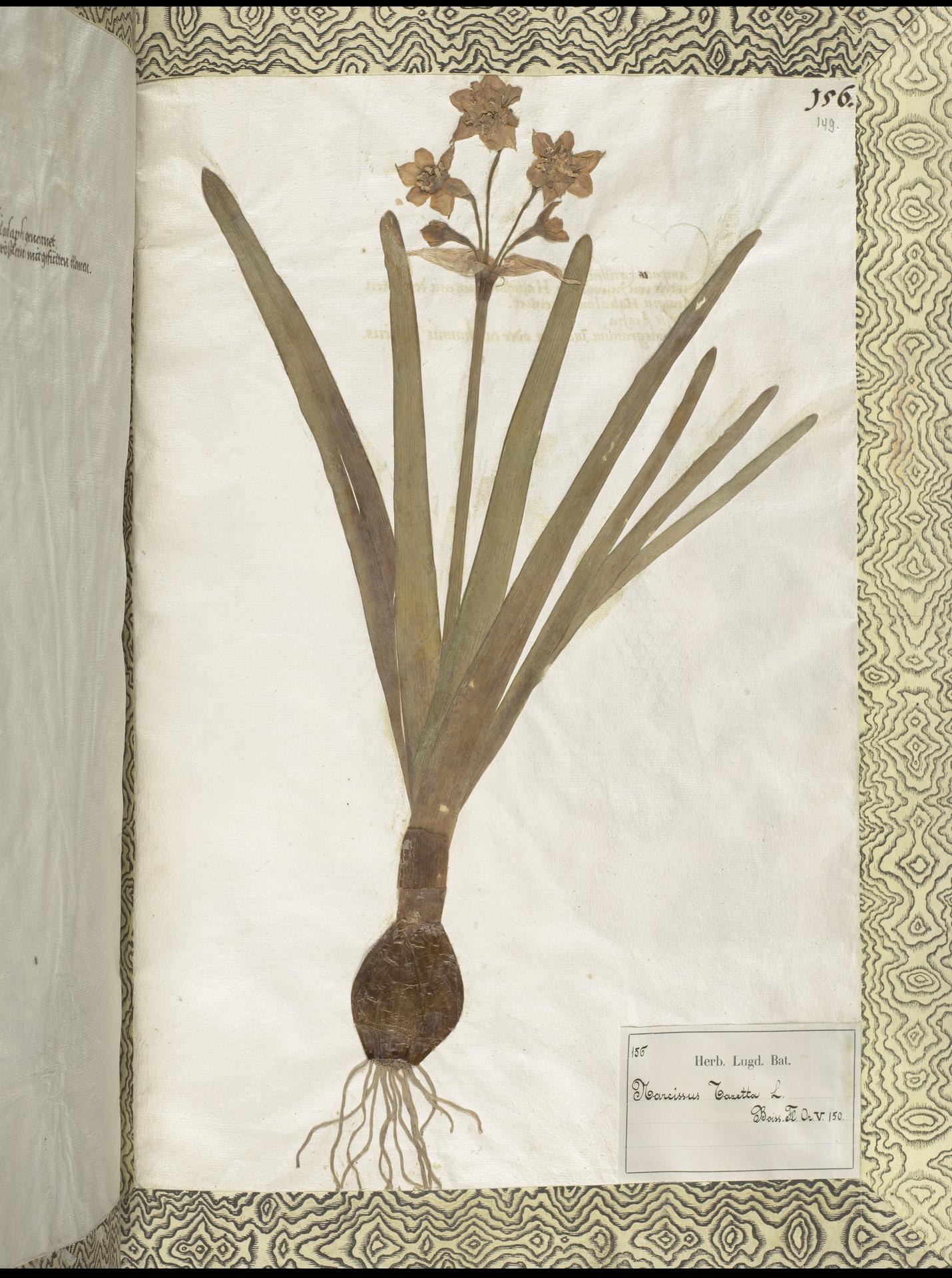 L.2111447 | Narcissus tazetta L.