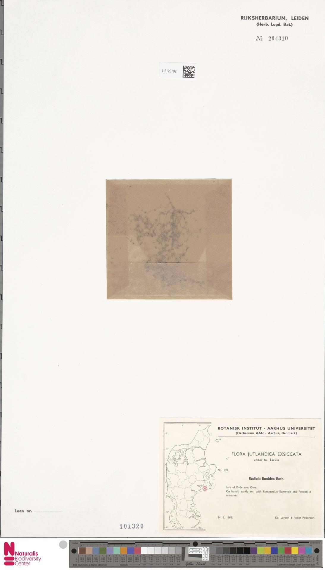 L.2120792 | Radiola linoides Roth
