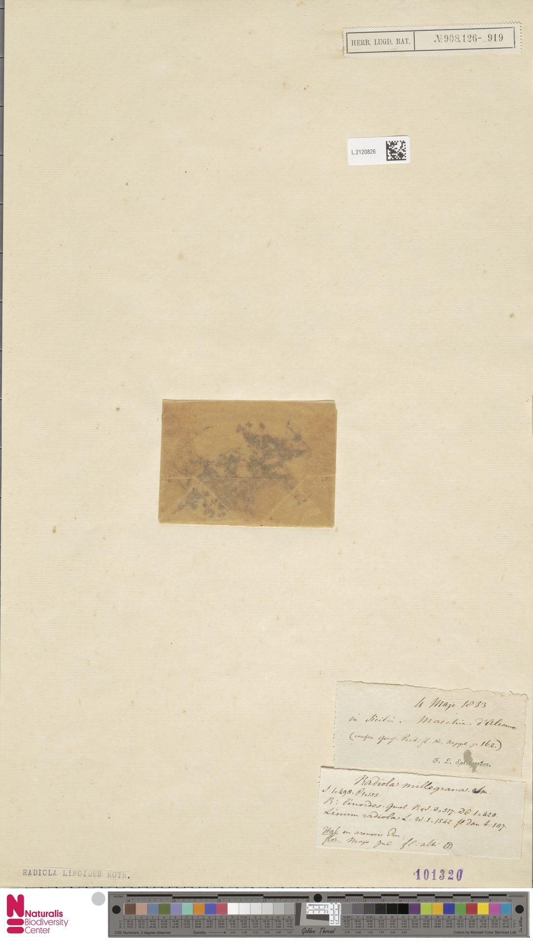 L.2120826 | Radiola linoides Roth