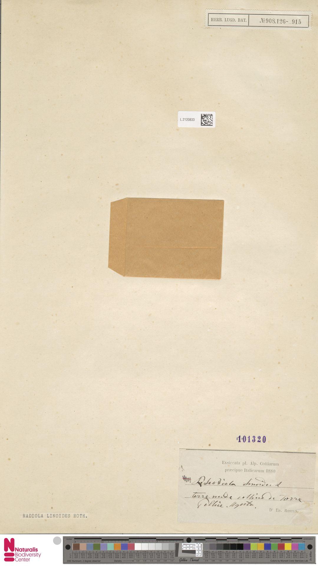 L.2120833   Radiola linoides Roth