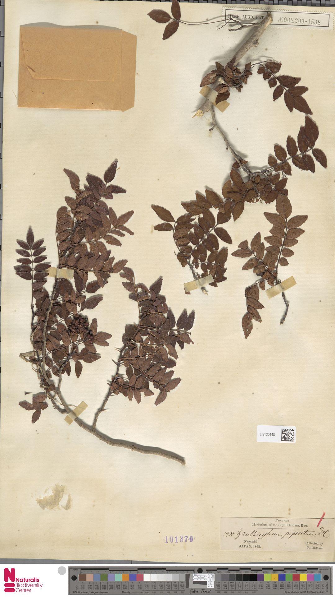 L.2130148 | Zanthoxylum piperitum DC.