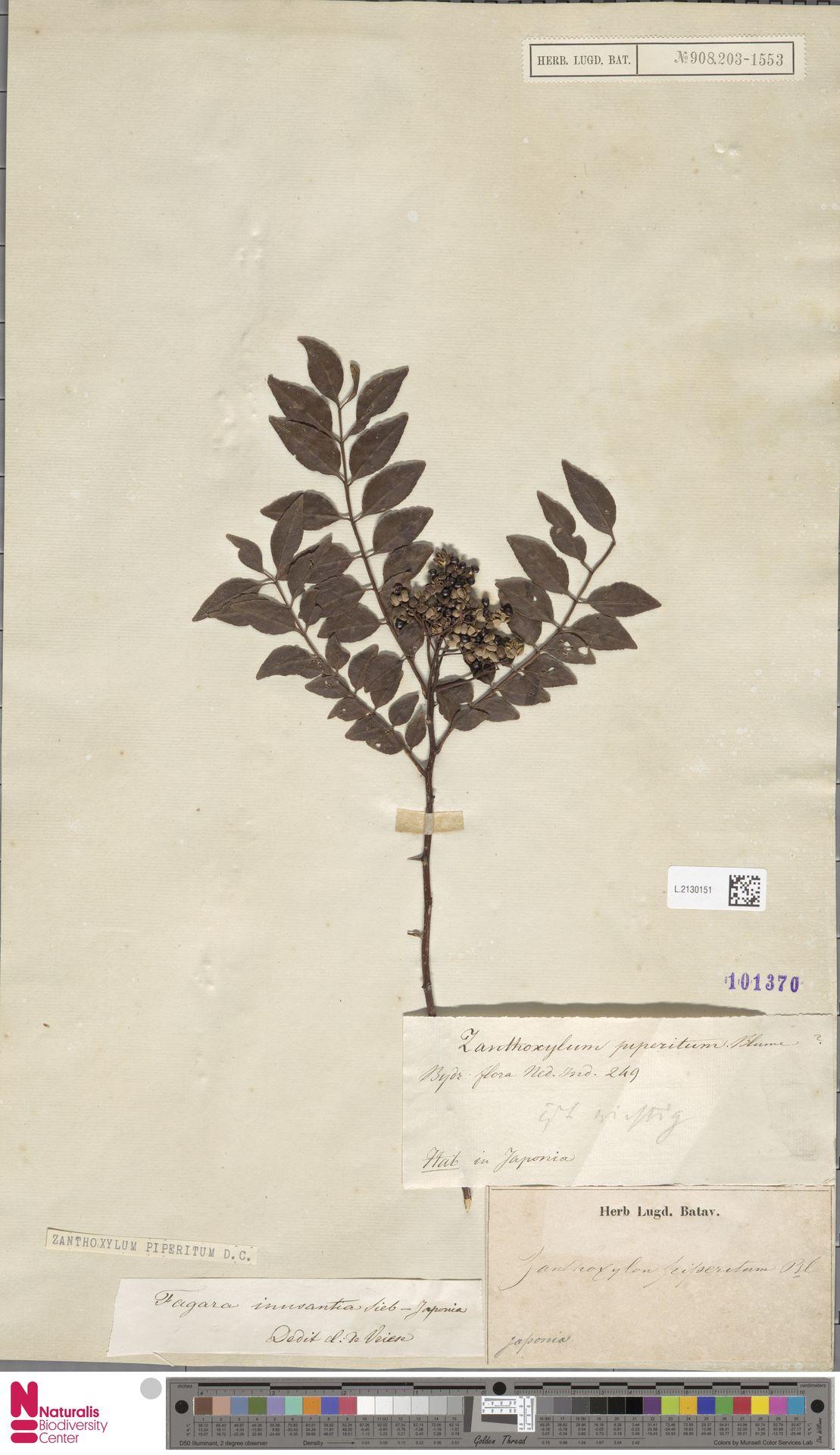 L.2130151 | Zanthoxylum piperitum DC.