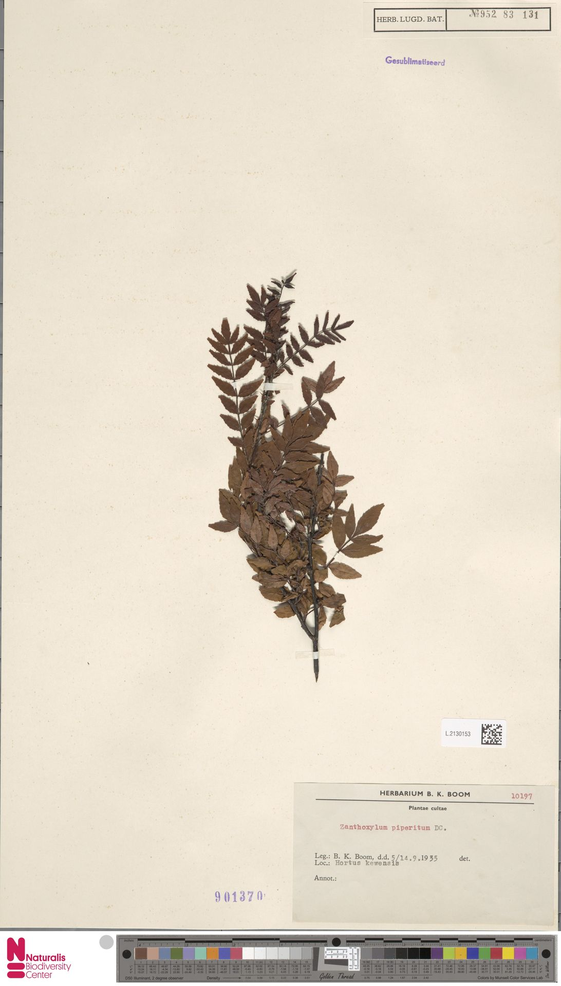 L.2130153 | Zanthoxylum piperitum DC.