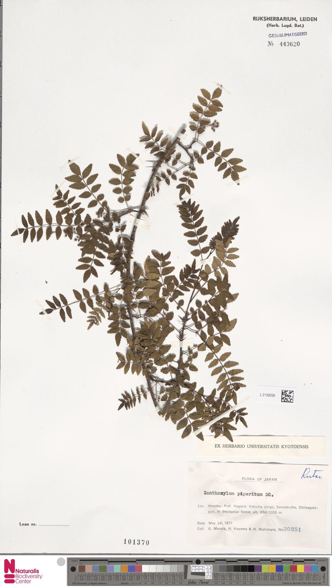 L.2130208 | Zanthoxylum piperitum DC.