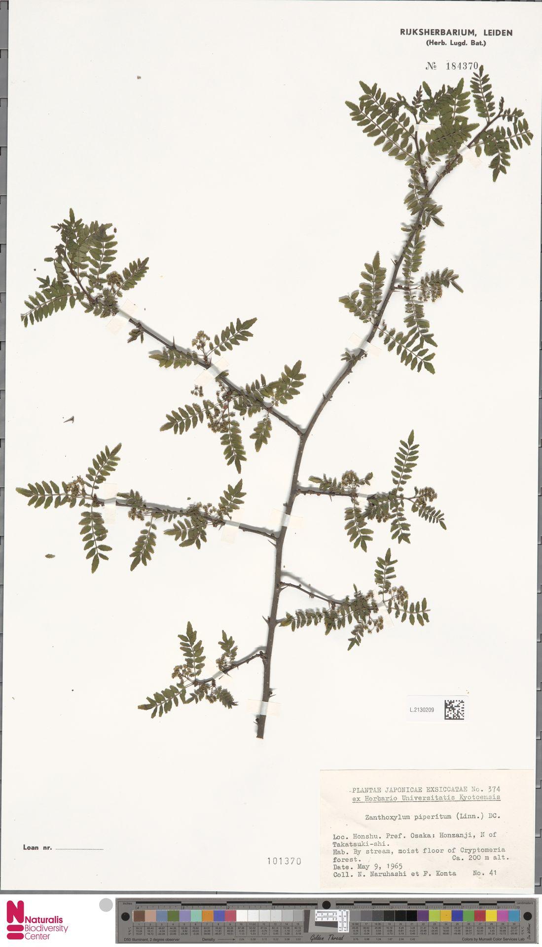 L.2130209 | Zanthoxylum piperitum DC.