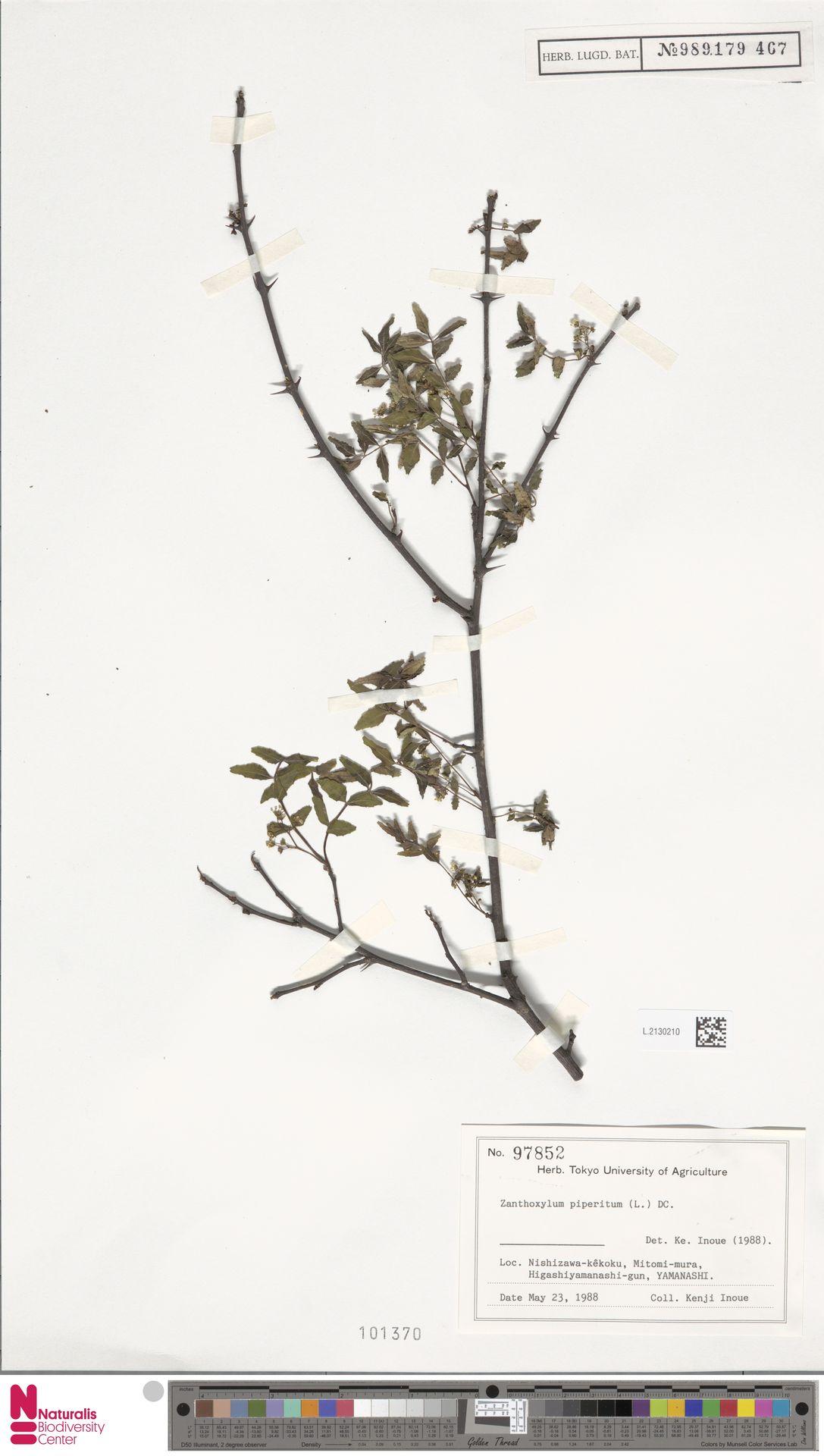 L.2130210 | Zanthoxylum piperitum DC.