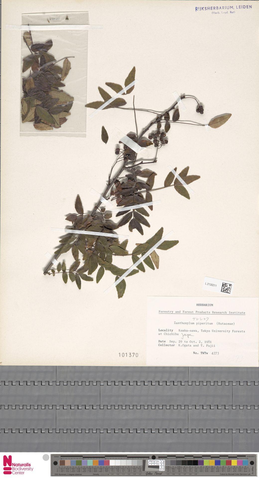 L.2130211 | Zanthoxylum piperitum DC.