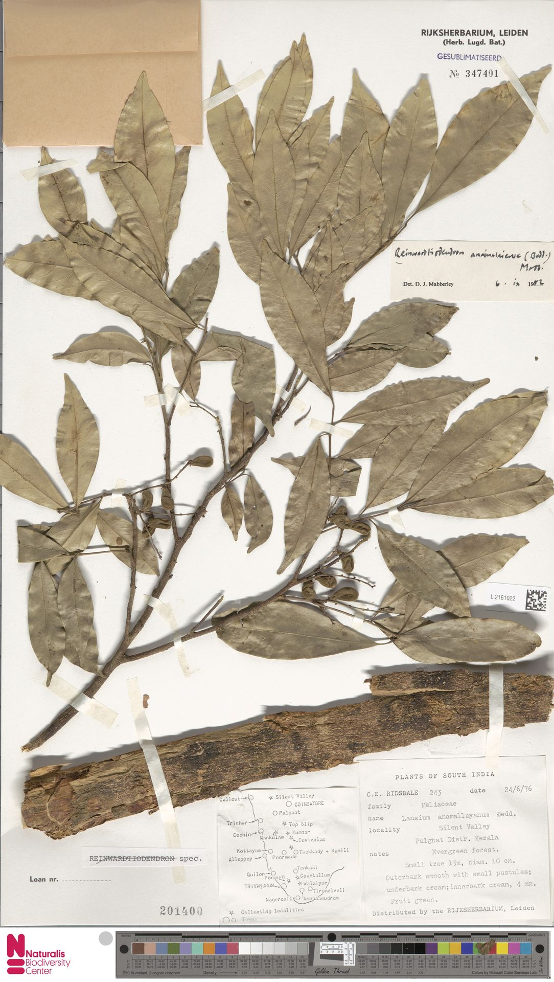 L.2161022   Reinwardtiodendron anamalaiense (Bedd.) Mabb.