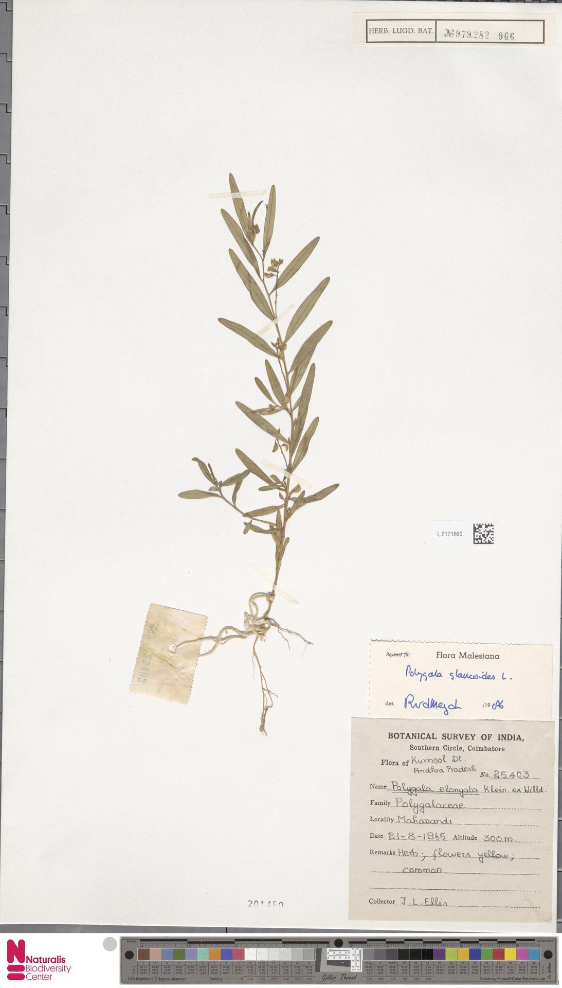 L.2171660 | Polygala glaucoides L.