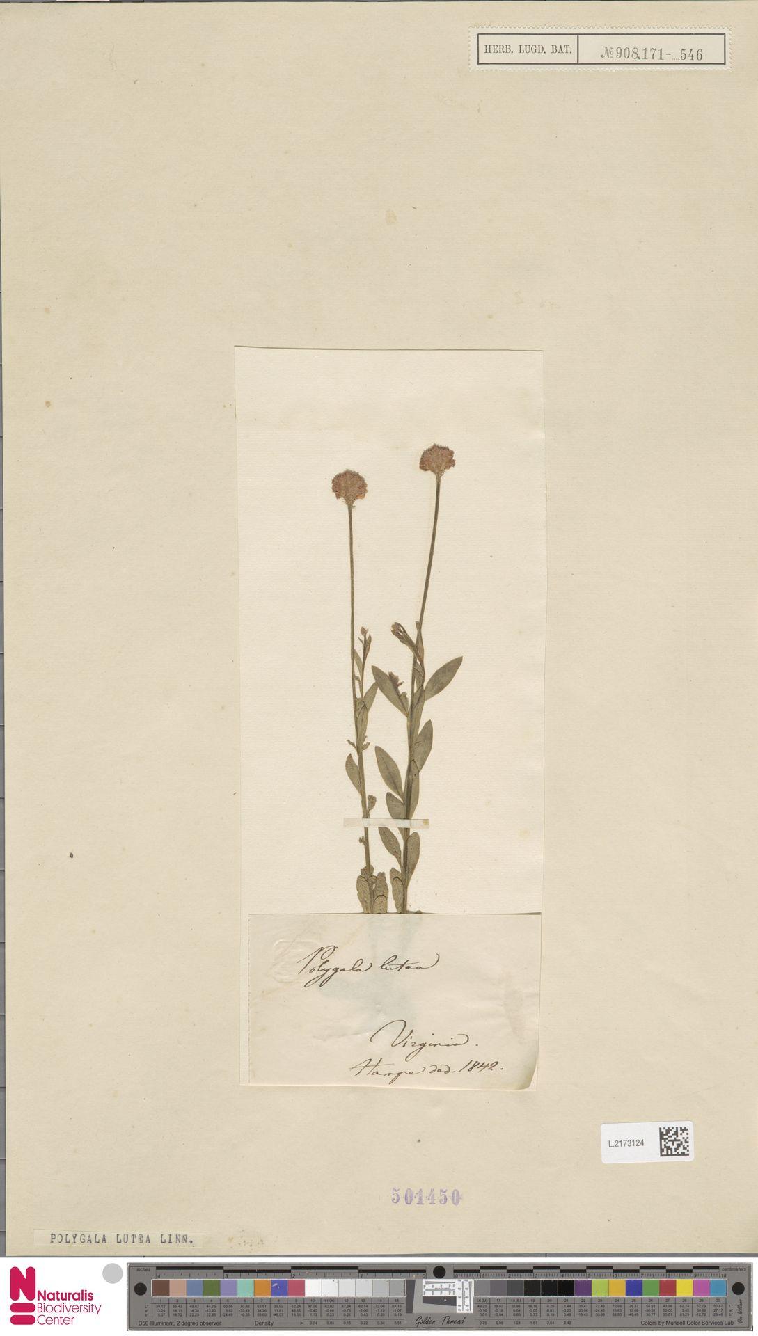 L.2173124 | Polygala lutea L.
