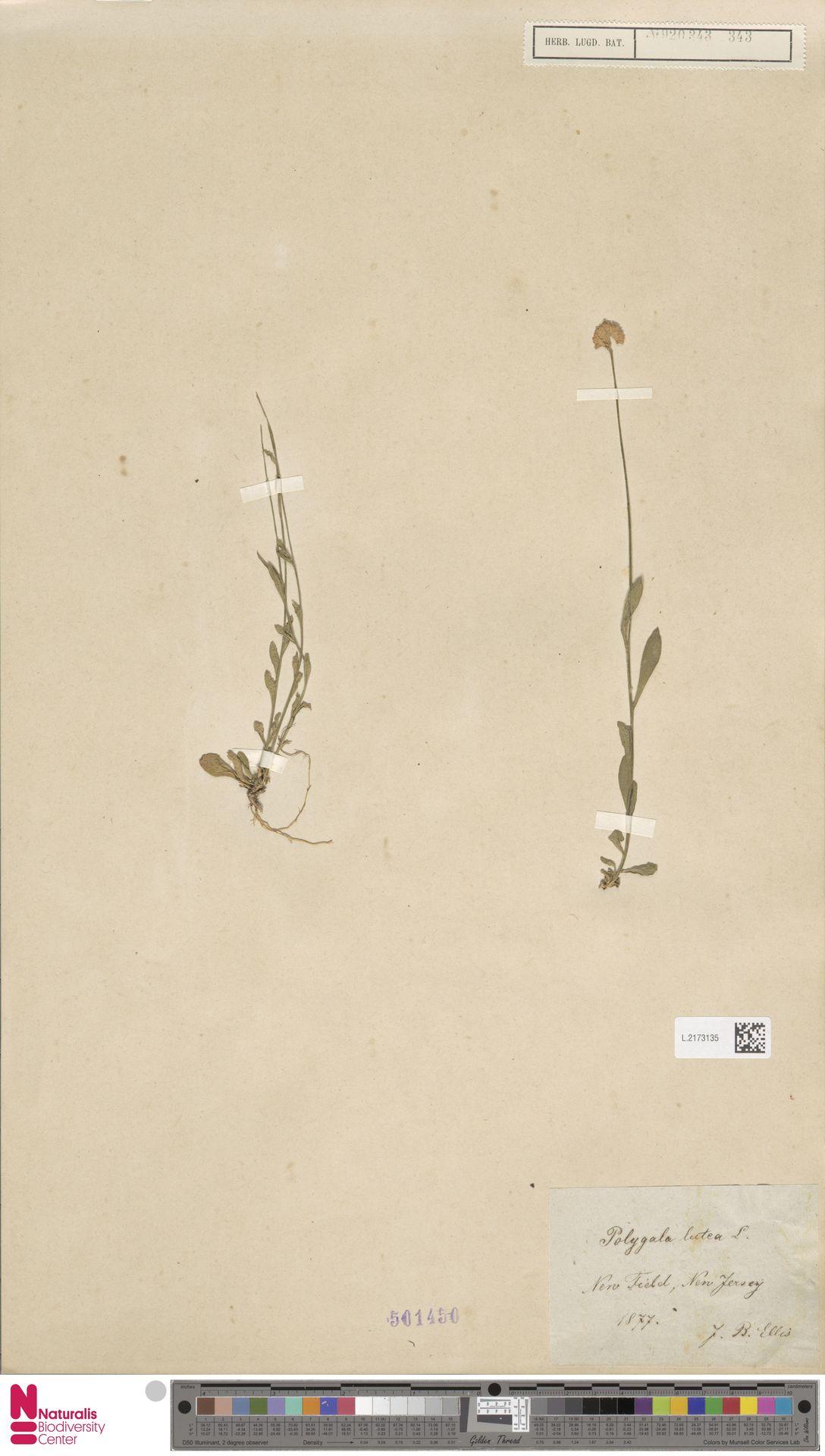 L.2173135 | Polygala lutea L.