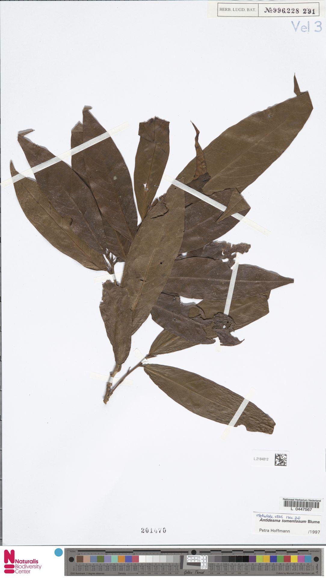 L.2184812 | Antidesma tomentosum Blume
