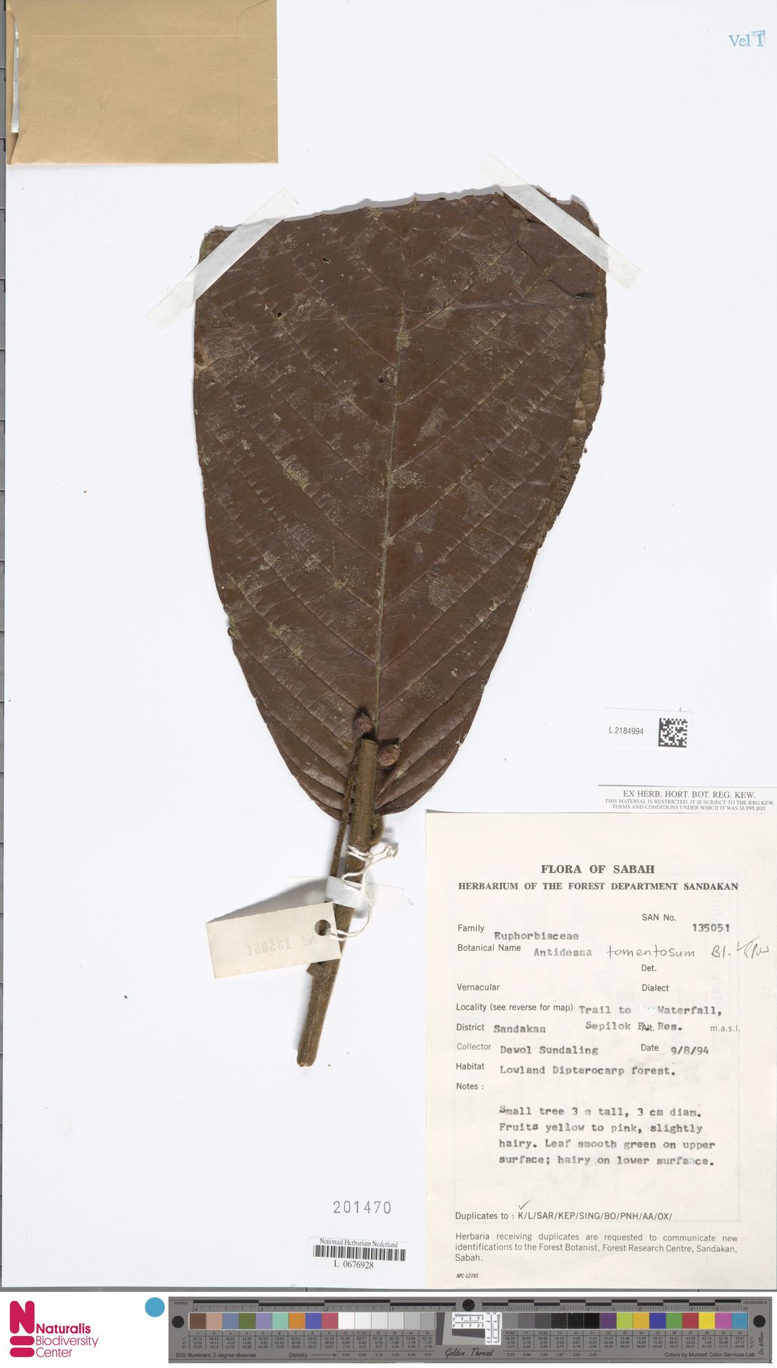 L.2184994 | Antidesma tomentosum Blume