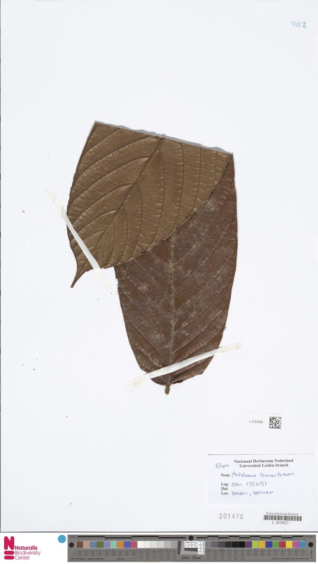 L.2184995   Antidesma tomentosum Blume