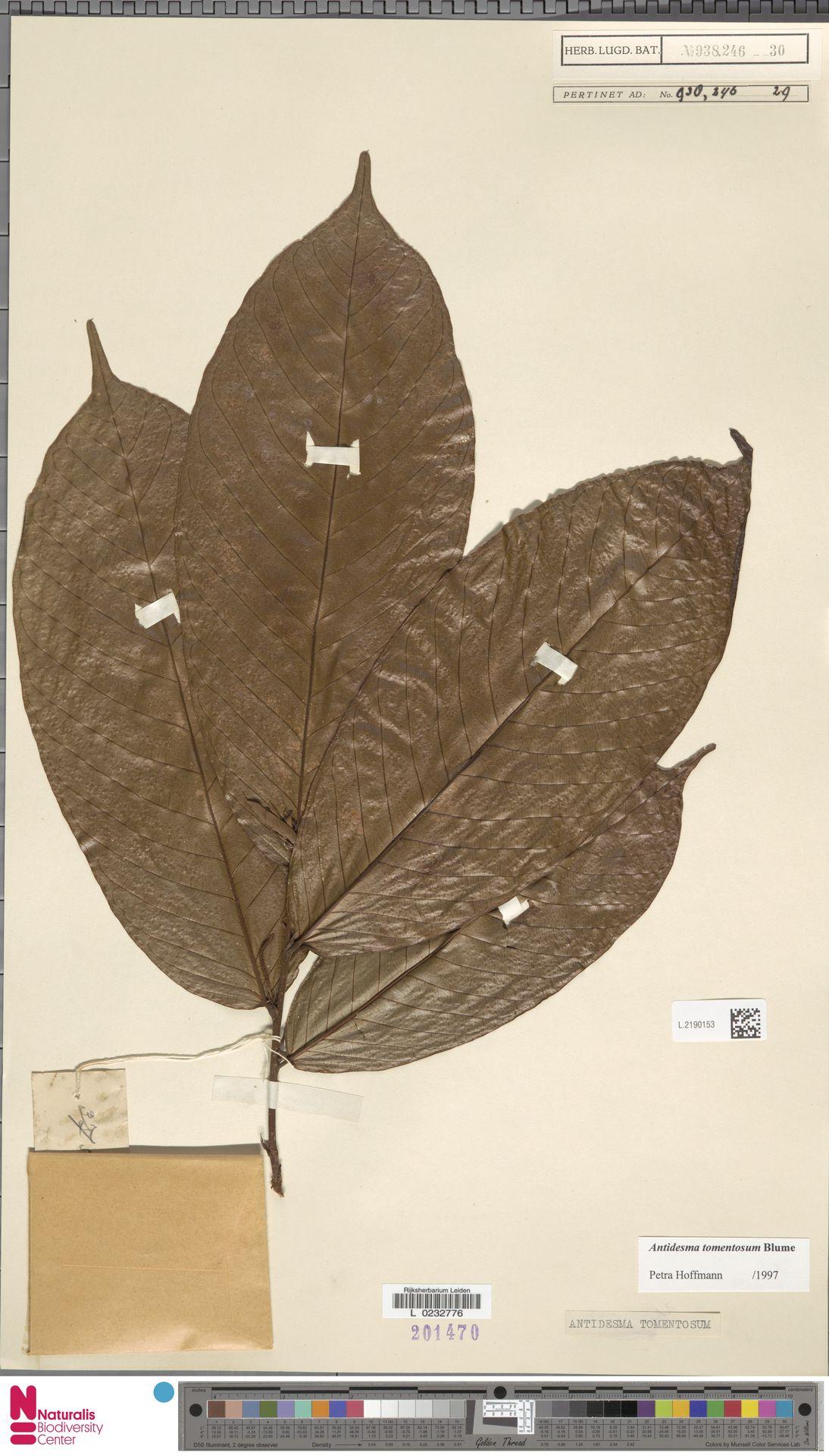 L.2190153 | Antidesma tomentosum Blume