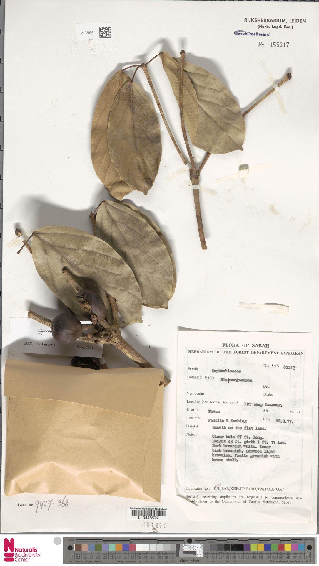 L.2192636 | Blumeodendron kurzii (Hook.f.) J.J.Sm.