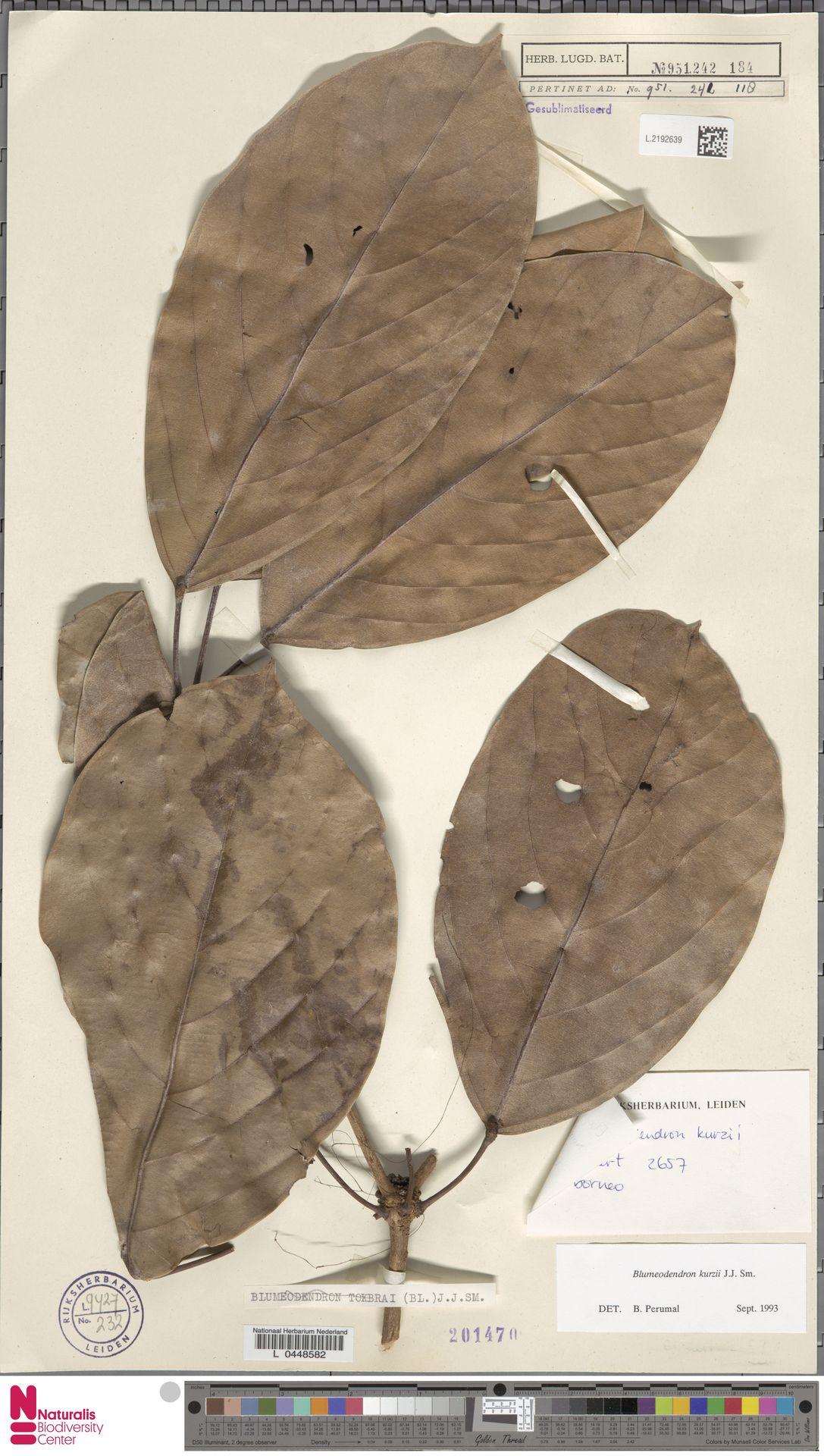 L.2192639 | Blumeodendron kurzii (Hook.f.) J.J.Sm.
